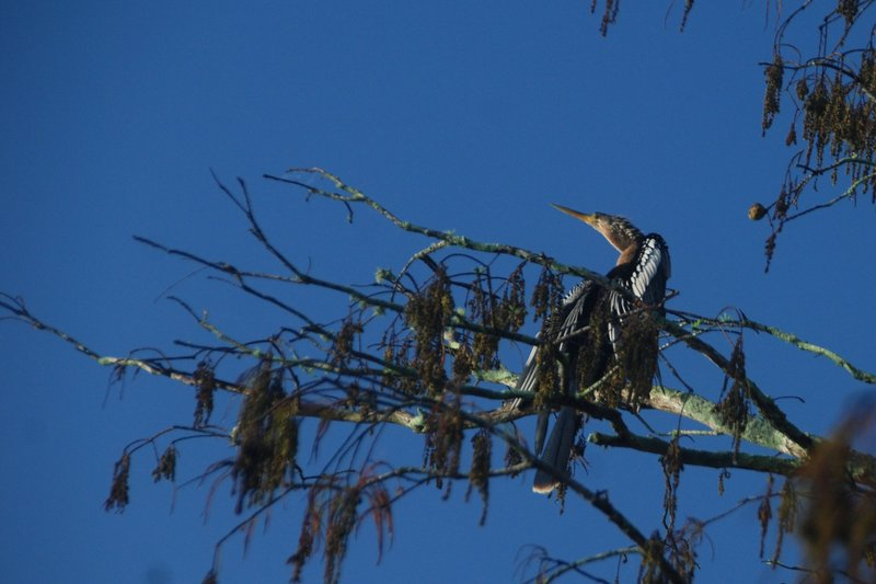 A female anhinga, similar to a cormorant, suns herself in a cypress tree.