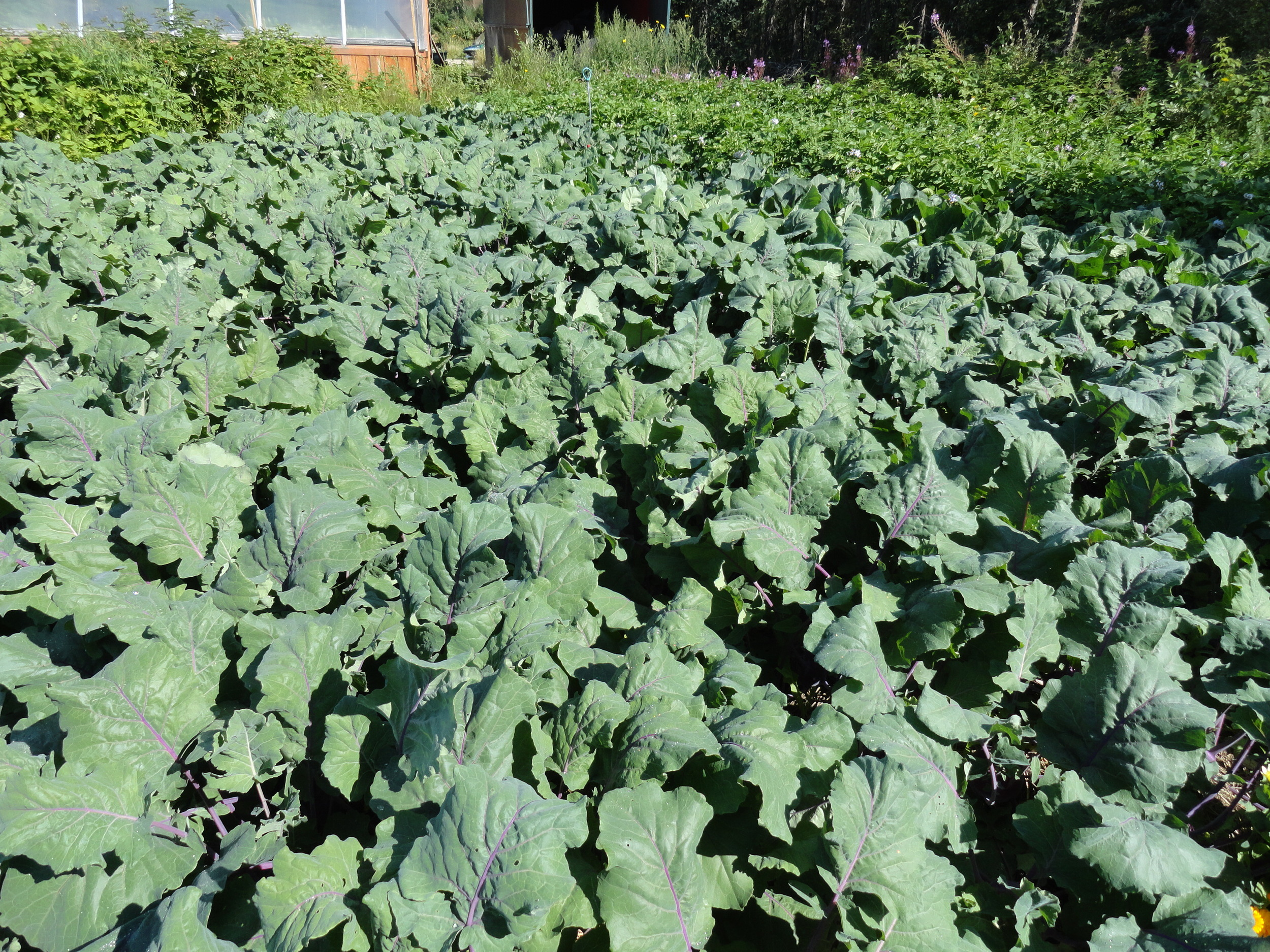 A field full of kohlrabi waiting to come to Yellowknife!