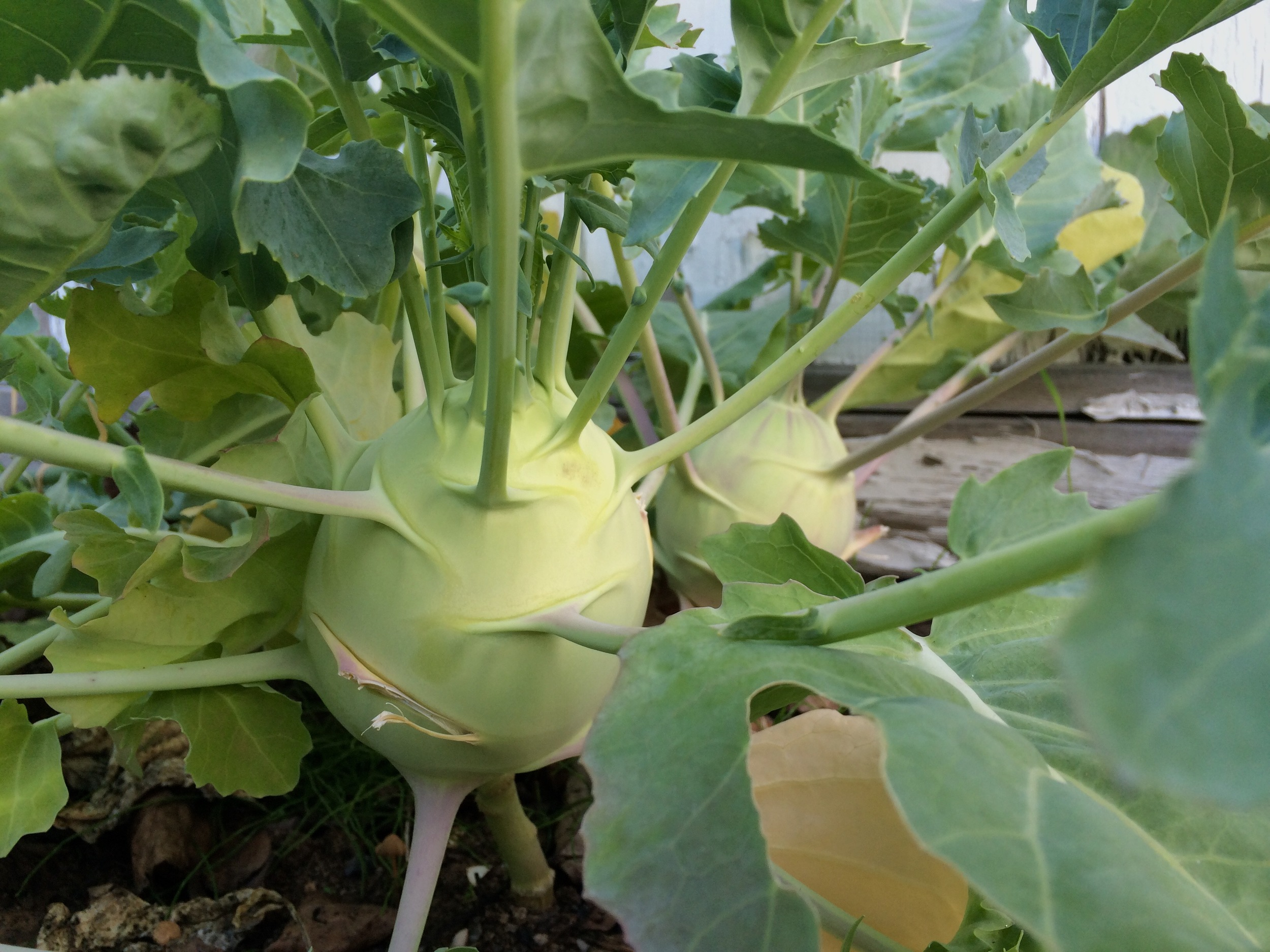 Odd, but delicious kohlrabi