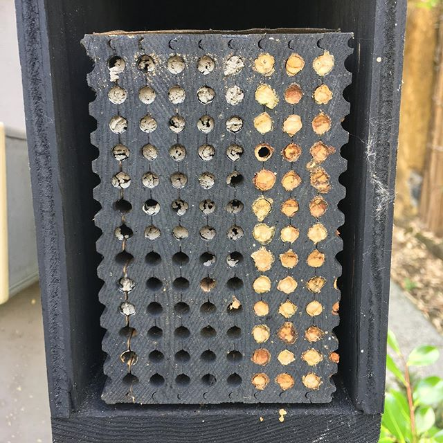 This is supposed to be the leaf cutter bee house, but does it look like mason bees have moved in?? @rentmasonbees