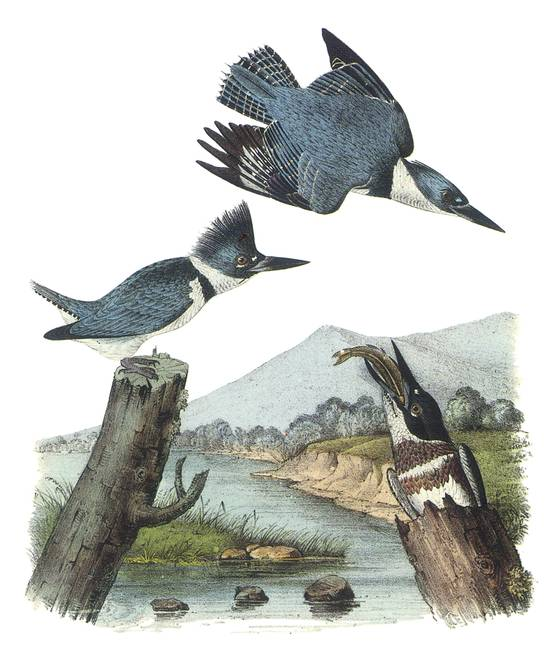 Belted-Kingfisher-Bird-Audubon-Print_art.jpg