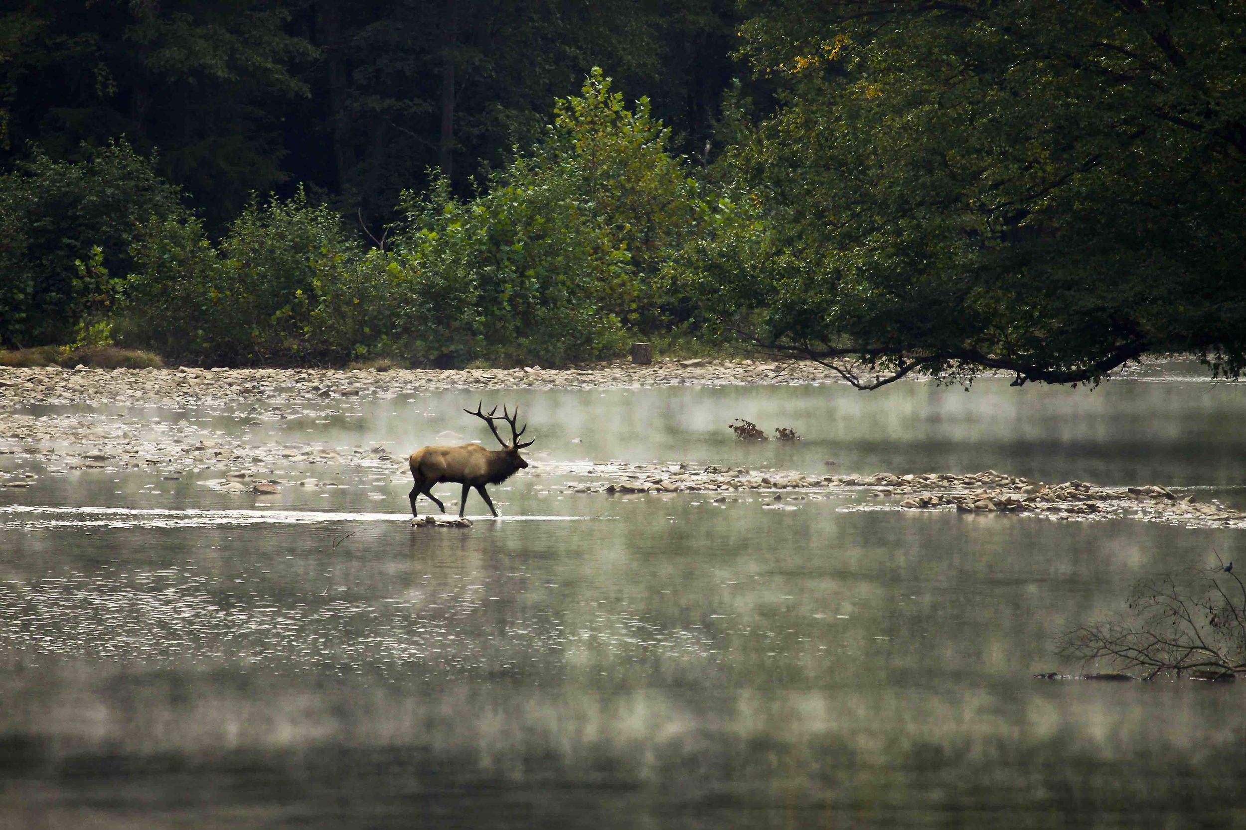 Bull Elk crossing stream.jpg