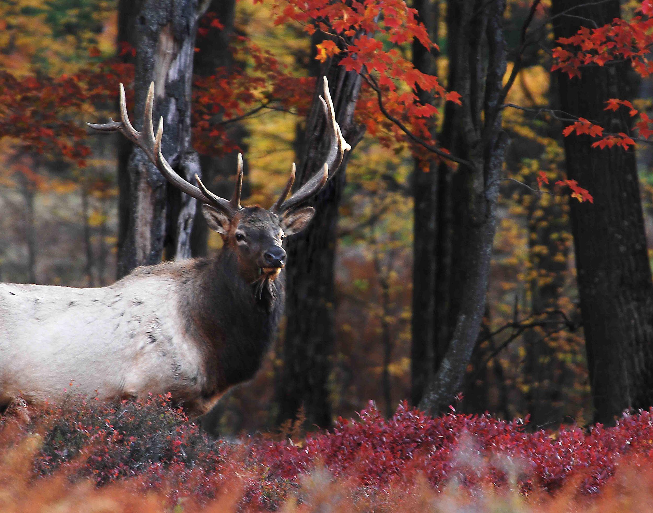 Bull Elk Fall.jpg
