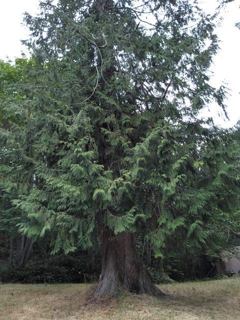 I love this cedar tree. You encounter it after climbing the stairs. Of all the trees at Sound View, I believe this one deserves an Entish name. It is a good tree to sit under to enjoy the breezes which waft up from the Sound.