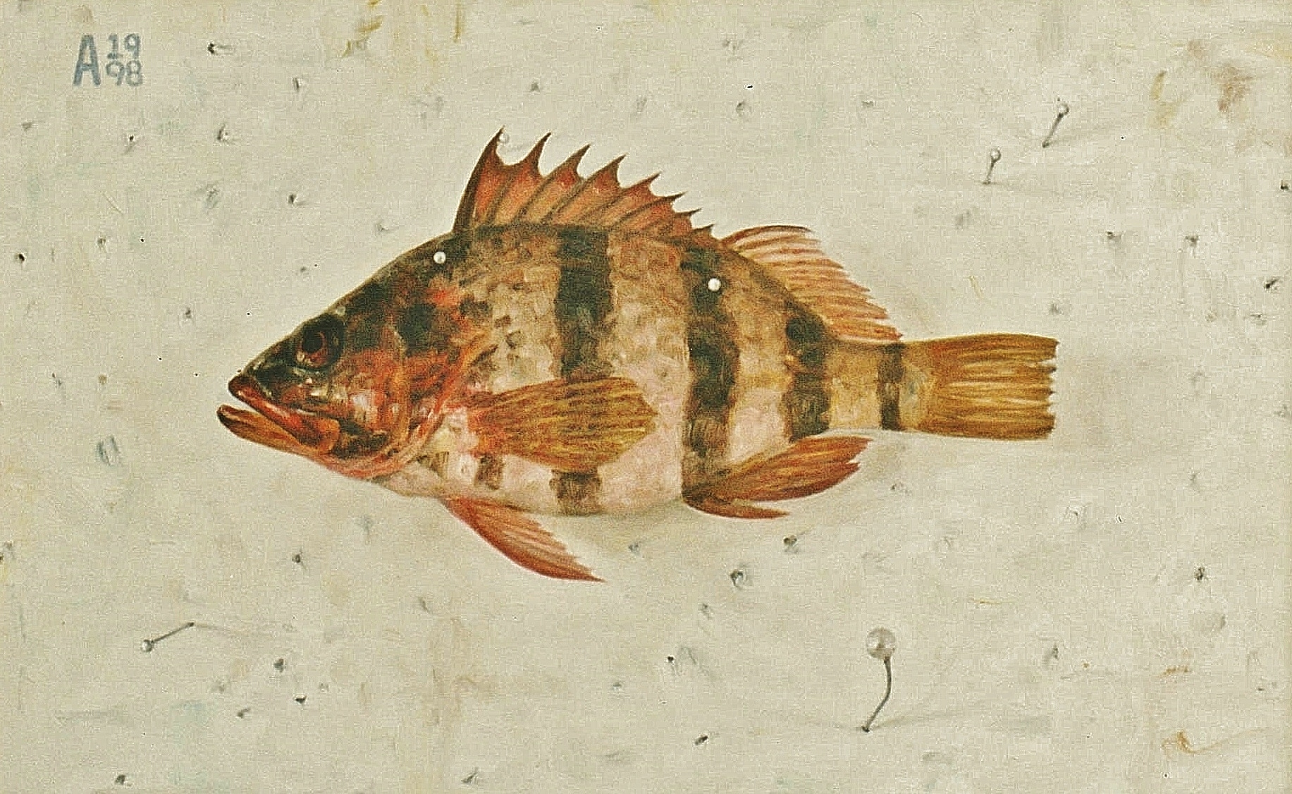 Banded Cod