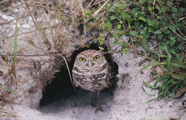 A dastardly developer's plan to wipe out a colony of endangered burrowing owls drives the plot of Hiaasen's book   Hoot  , Photo courtesy of Florida Fish and Wildlife Conservation Commission