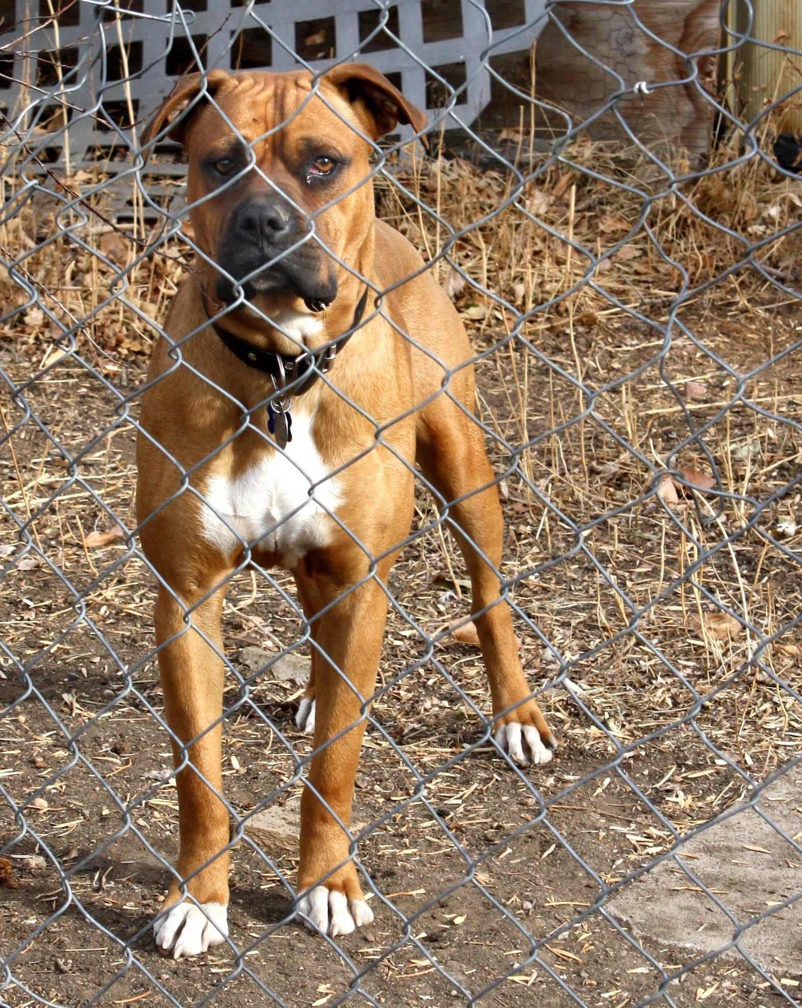 brown-dog-behind-fence.jpg
