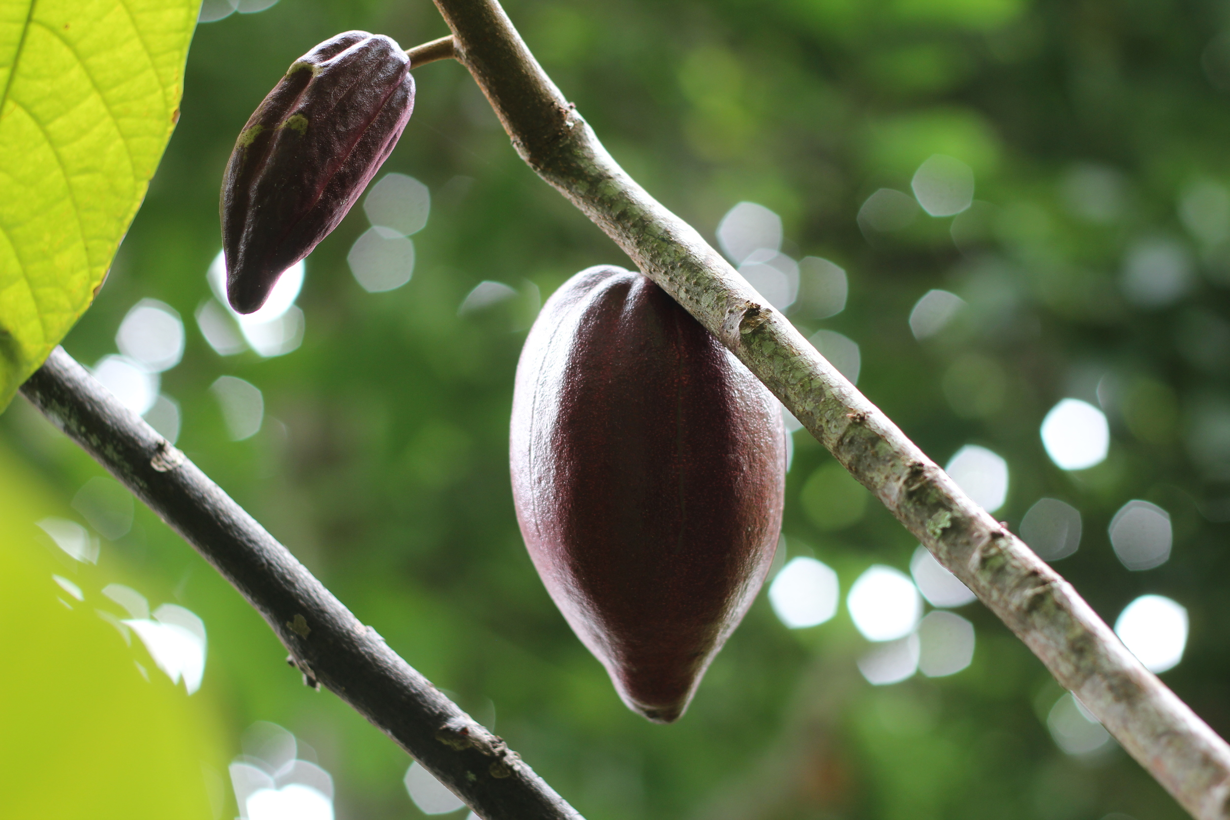 cacao pods, not yet ripe