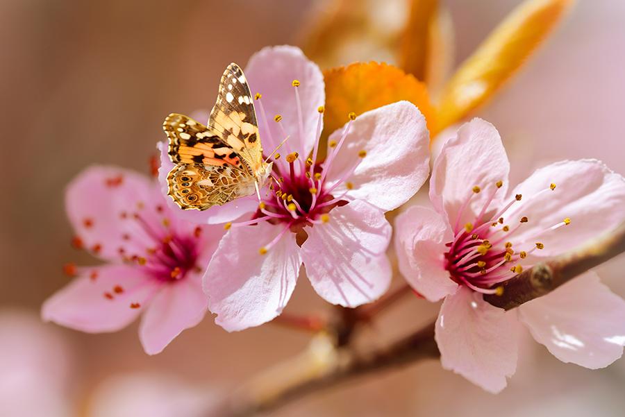 Davey Tree - Cherry Tree + Butterfly-web.jpg