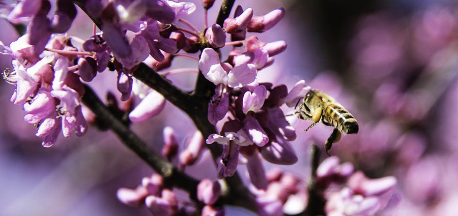 Davey Tree - Redbud + bee-web.jpg