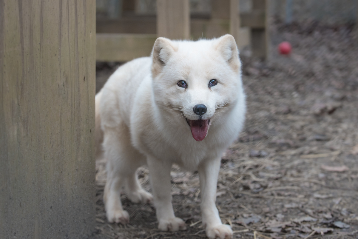 casper, a White Arctic Fox rescue, now resides at the conservators center.