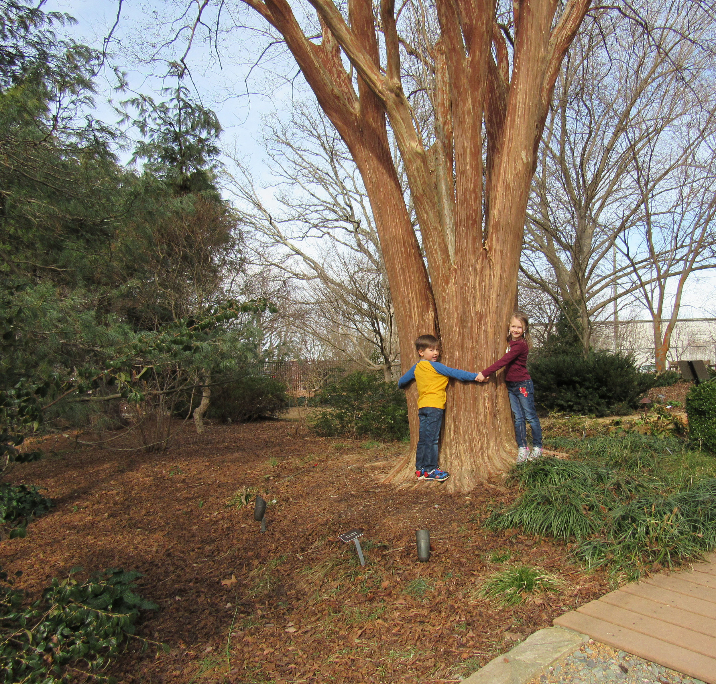 """""""Fantasy,"""" the giant Japanese crepe myrtle (Lagerstroemia fauriei), stands 50 feet tall near the Beryl Road entrance to the JC Raulston Arboretum. Planted from a seed in the mid 1950s, Fantasy is believed to be the tallest crepe myrtle of its type in the U.S. Fletcher Powell, 5, and sister, Linde, 6, can't reach even halfway around the huge trunk.  Photo by Charles Heatherly"""
