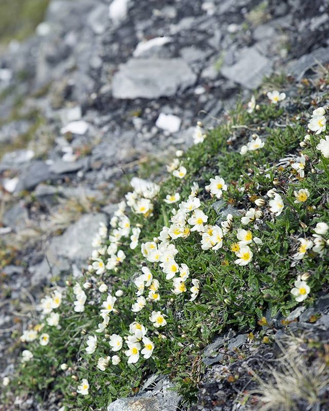 💛 Each flower is a soul opening out to nature - Gerard de Nerval 🌸🌺🌻🌺🌸 ::: #mountainflowers #northernnorway #tough #survivor #pilgrimage #crosscountry #thruhiking #npl 🇧🇻