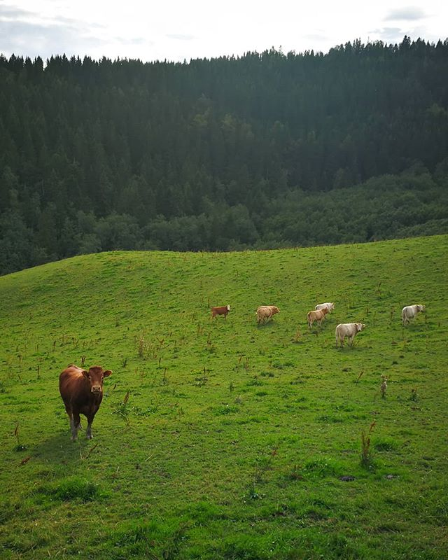 When you're crossing Norway from the north to the south, it's a good sign when you start seing cows instead of reindeer 😂 ::: I've never been so grateful for cows in my whole life as in that very moment. Such beautiful creatures really. Thank you for existing❤️ 🐮❤️ ::: #loveforallbeings #nature #pilgrimage #crosscountry #npl