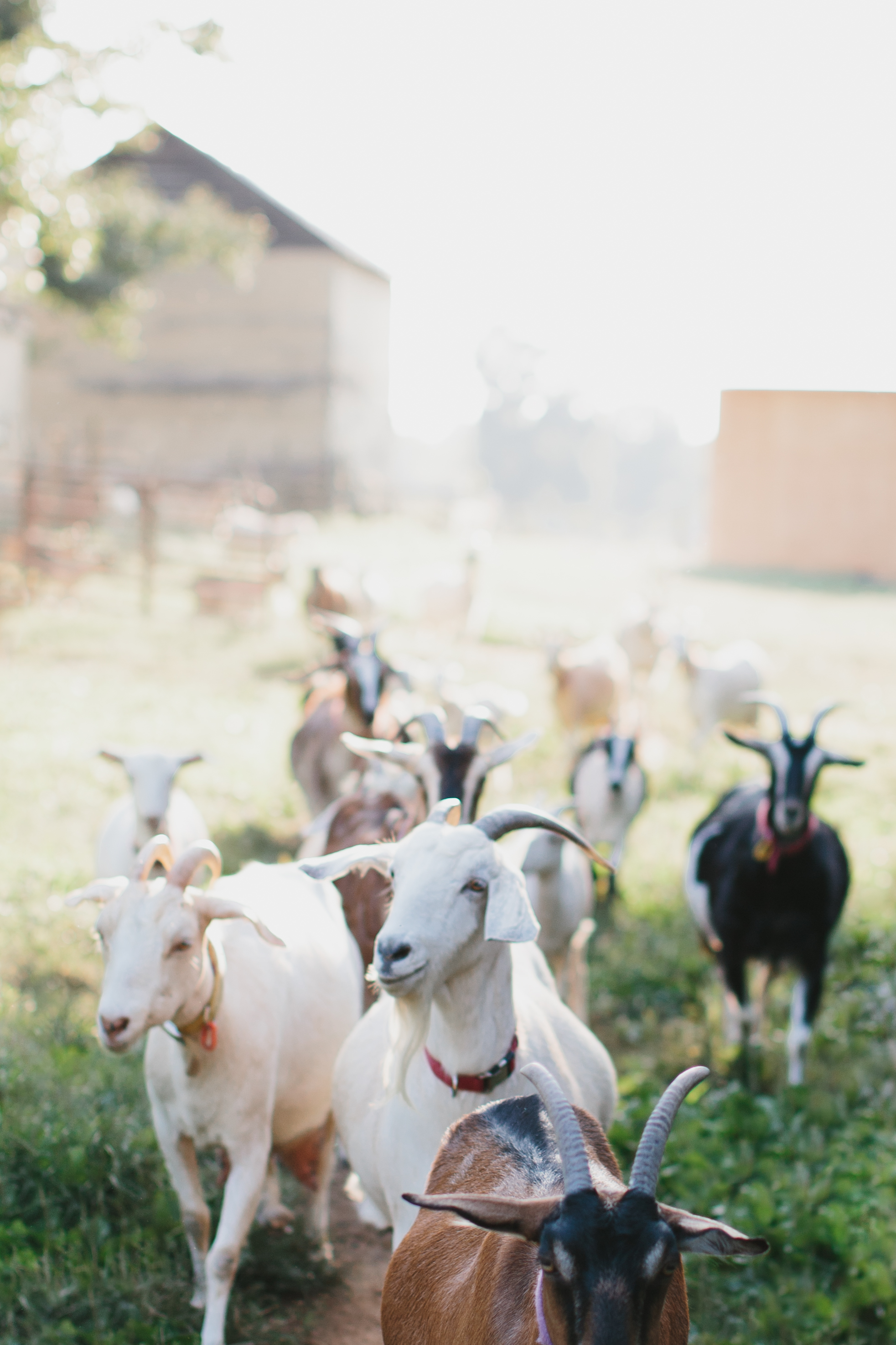 Elodie Farms' goats in Rougemont, NC | lifestyle photographer | Merritt Chesson Photography