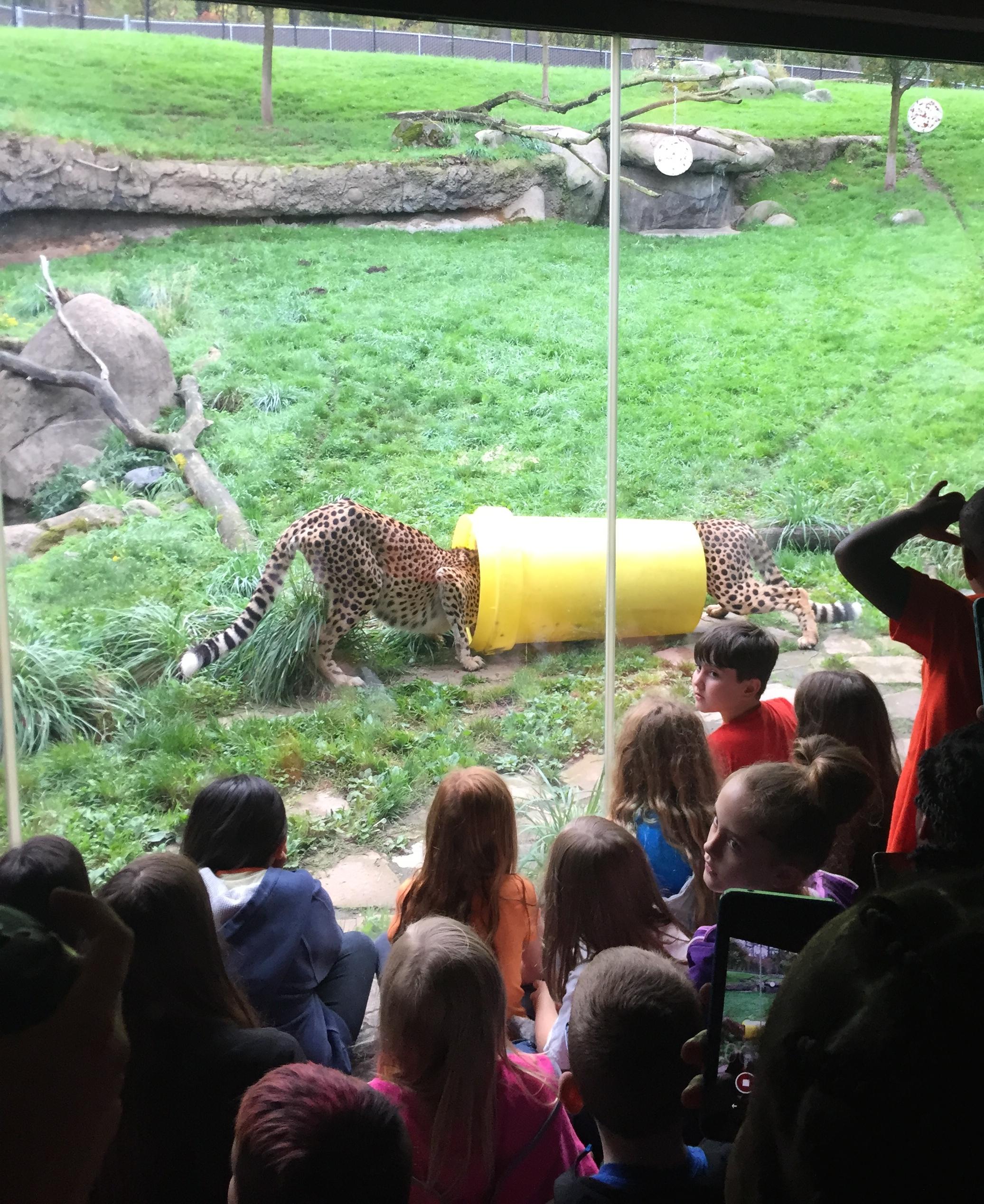 Cheetahs receive breakfast through enriching food challenge.