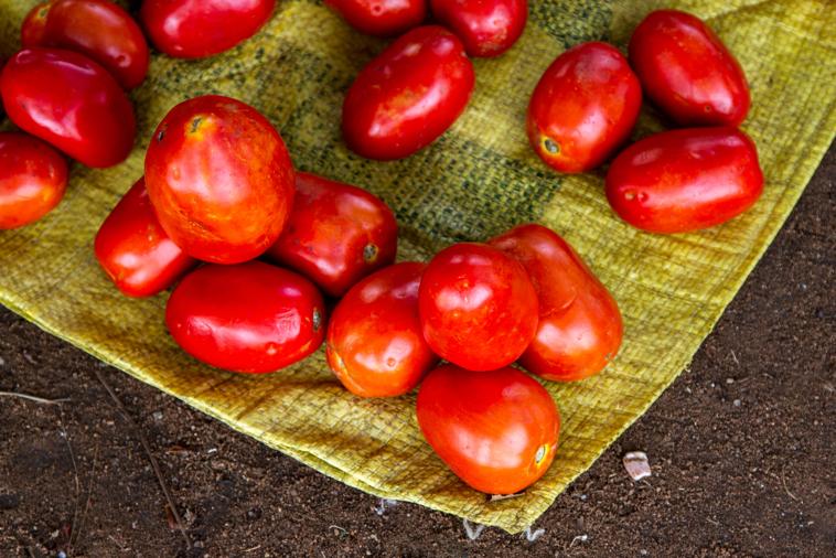 Ripe Red Coffee Cherries
