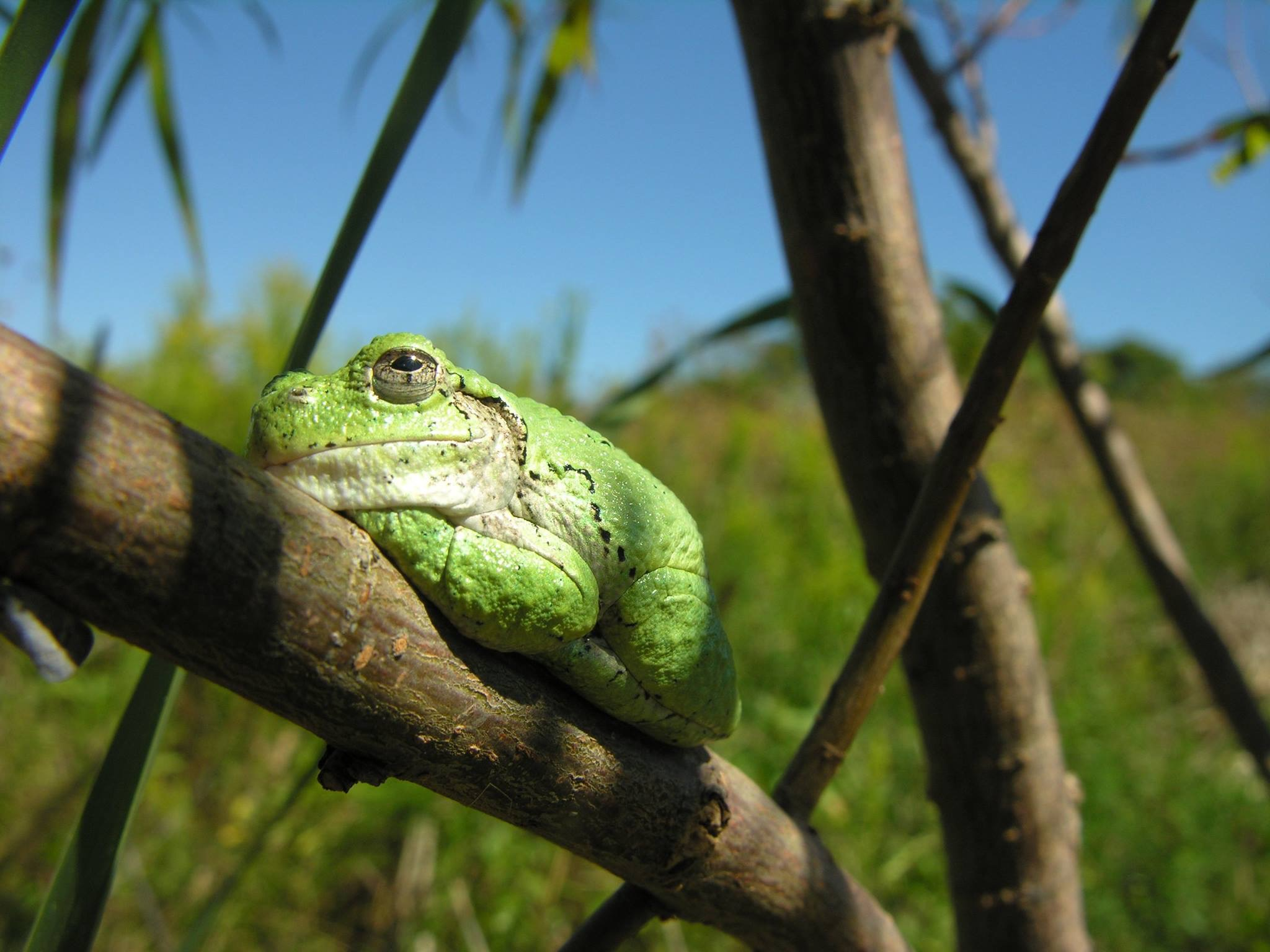 MAD-GrayTreeFrog