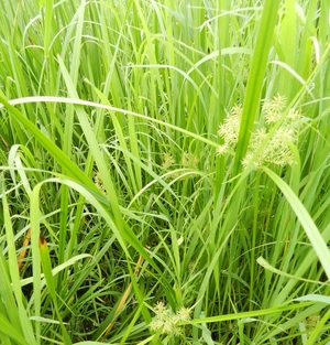 Nut Sedge - Wetland Plant