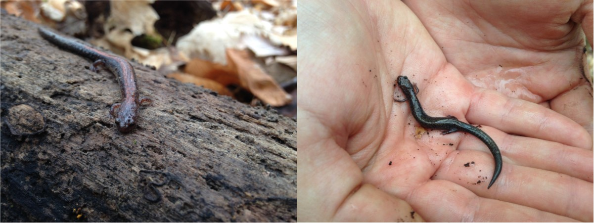 Two varieties of the lungless Redback Salamander. On the left is the red-striped phase, and the right, the leadback phase. Both found near a Crawford County vernal pool by Daniel DeBruler, February 22, 2017.
