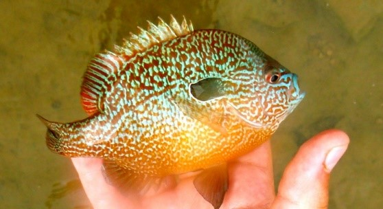 Pumpkinseed_Sunfish.jpg