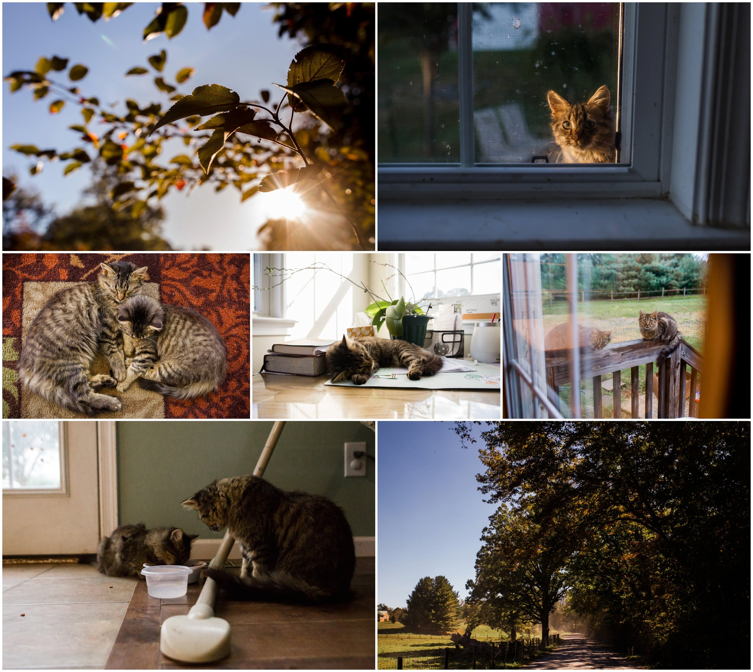 hollipoolphotography fall, kitty, fall leaves, cat pet