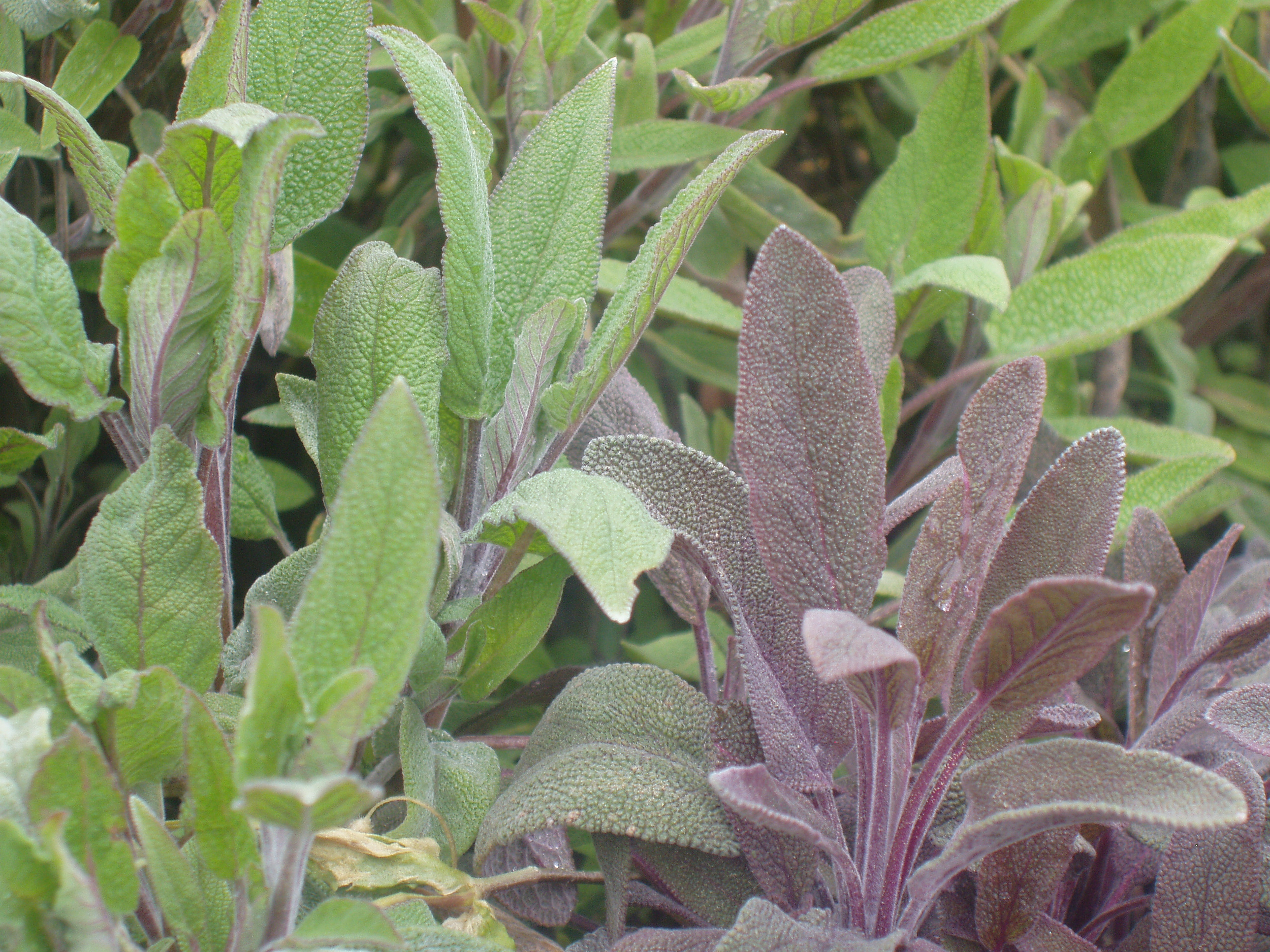 Salvia officinalis  T.jpg