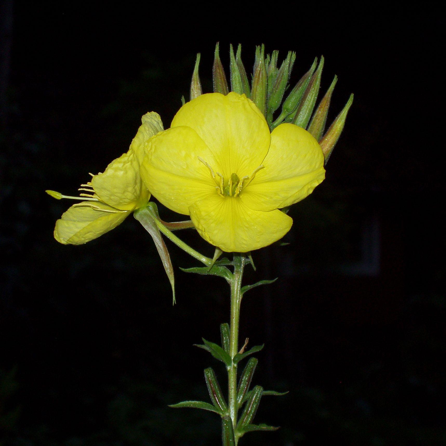 Oenothera T.jpg