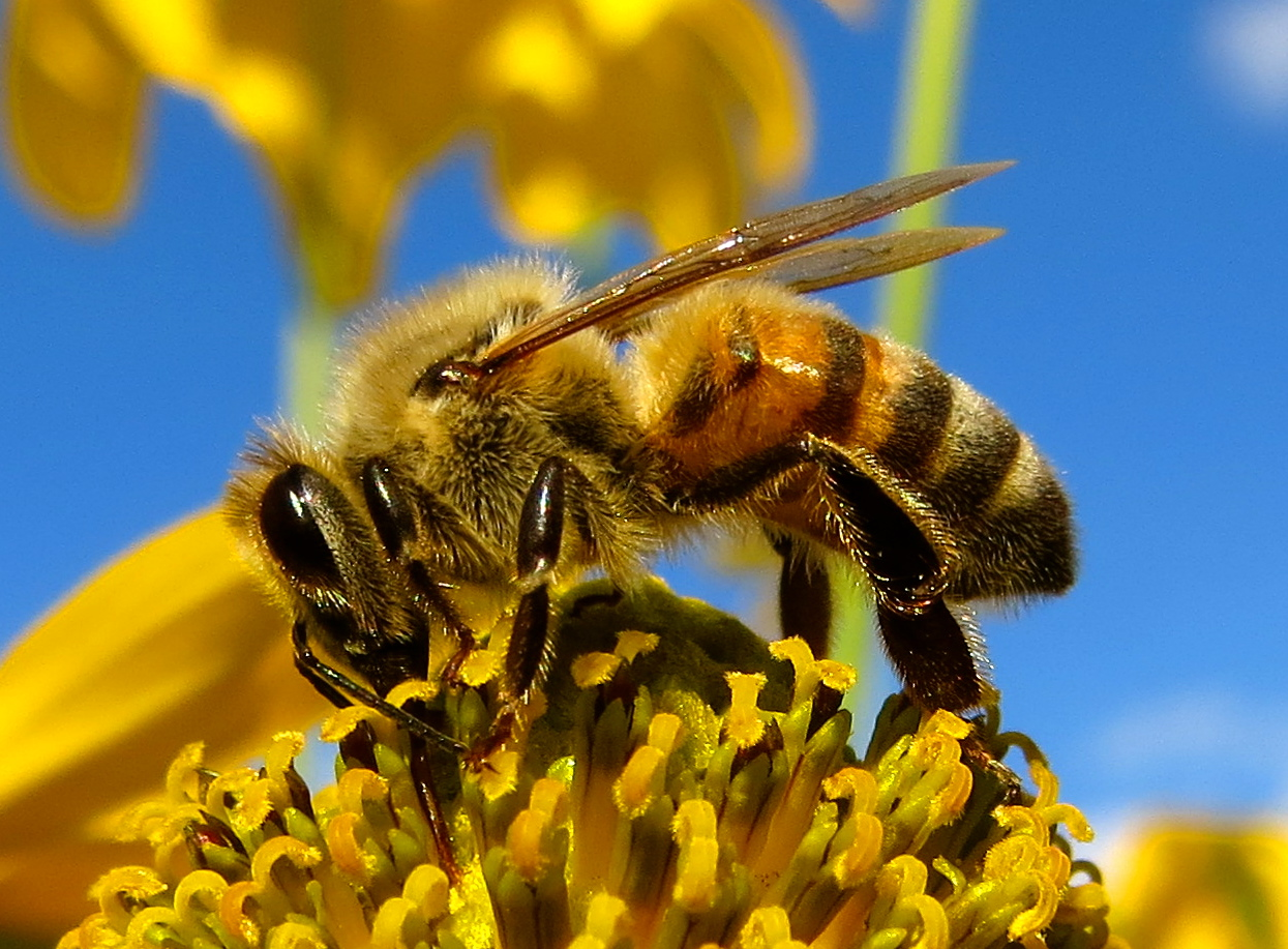 While spring seems far-off to many Connecticut residents, pollinators may be on the state's legislative agenda this winter as declining honeybee and monarch butterfly populations not only cause economic losses, but also threaten Connecticut's natural heritage. (labbradolci/Flickr)