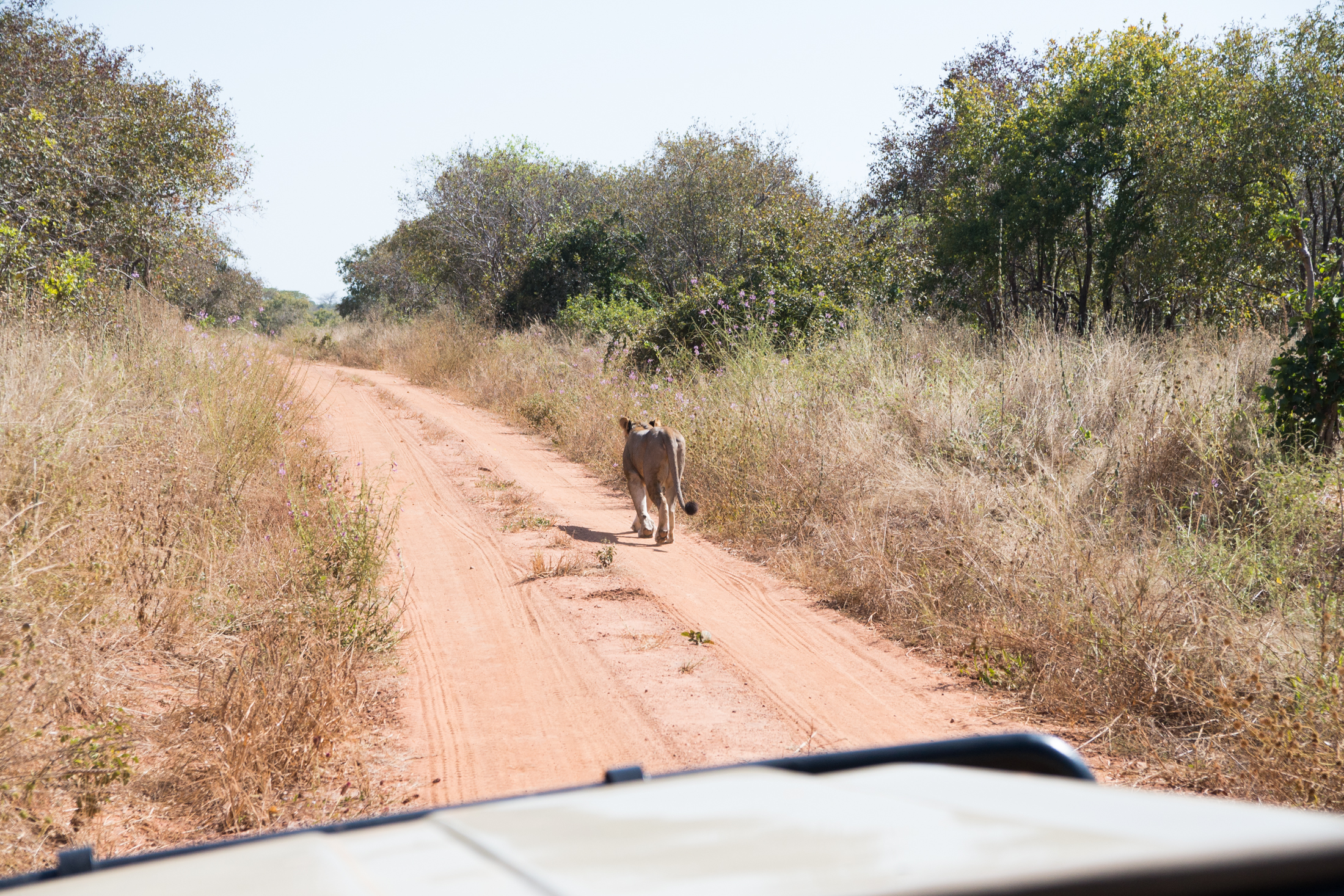 A young male lion treks up the main road in Ruaha National Park. More than one male lion will seldom remain in a pride. Once they get old enough, the alpha male lion will chase the younger  lions out of the pride. (Amar Batra/Daily Campus)
