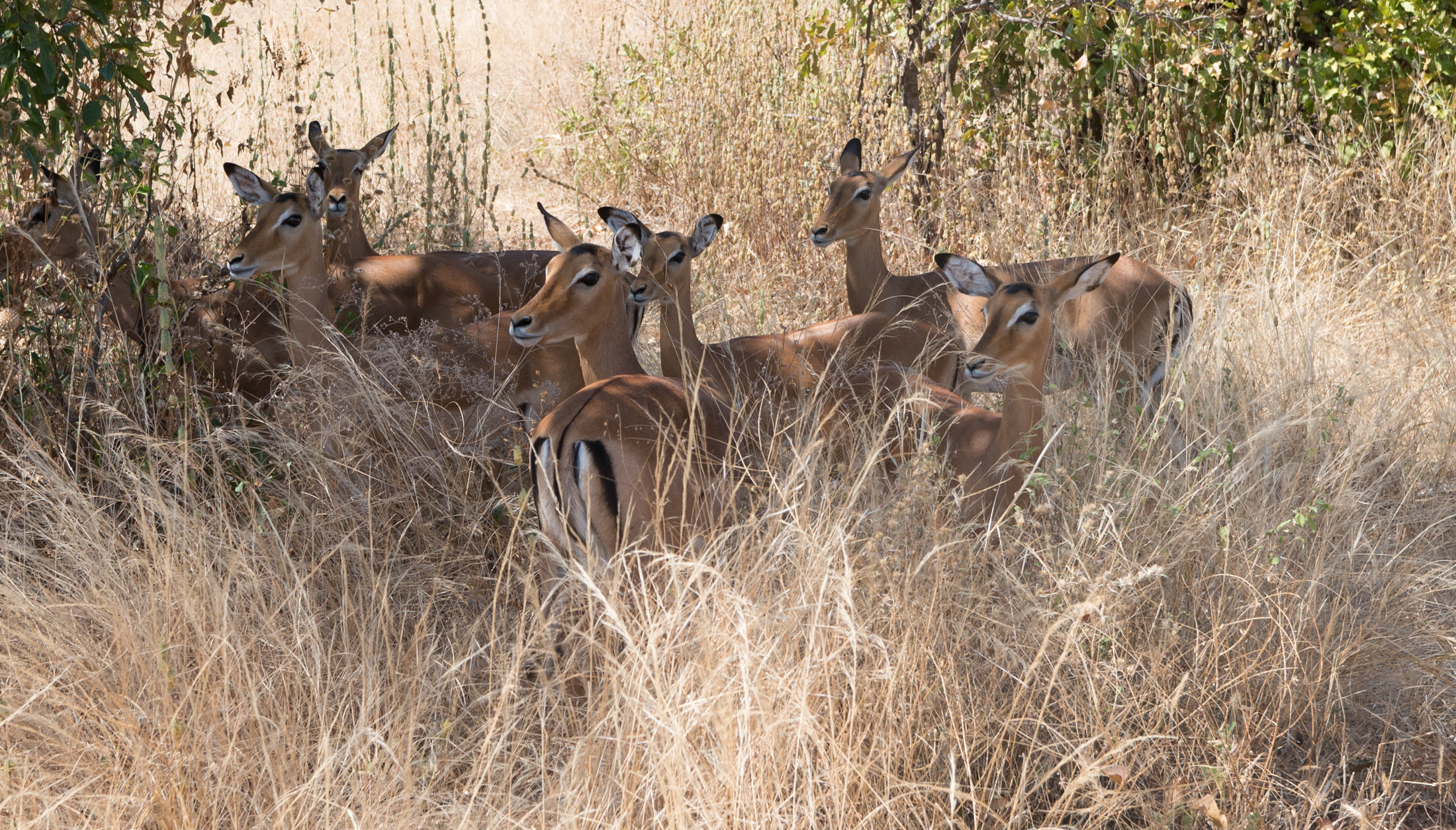 A small group of female impala nervously watch the caravan go past. Impala's can leap up to 10 feet across vegetation and potential predators. (Amar Batra/Daily Campus)