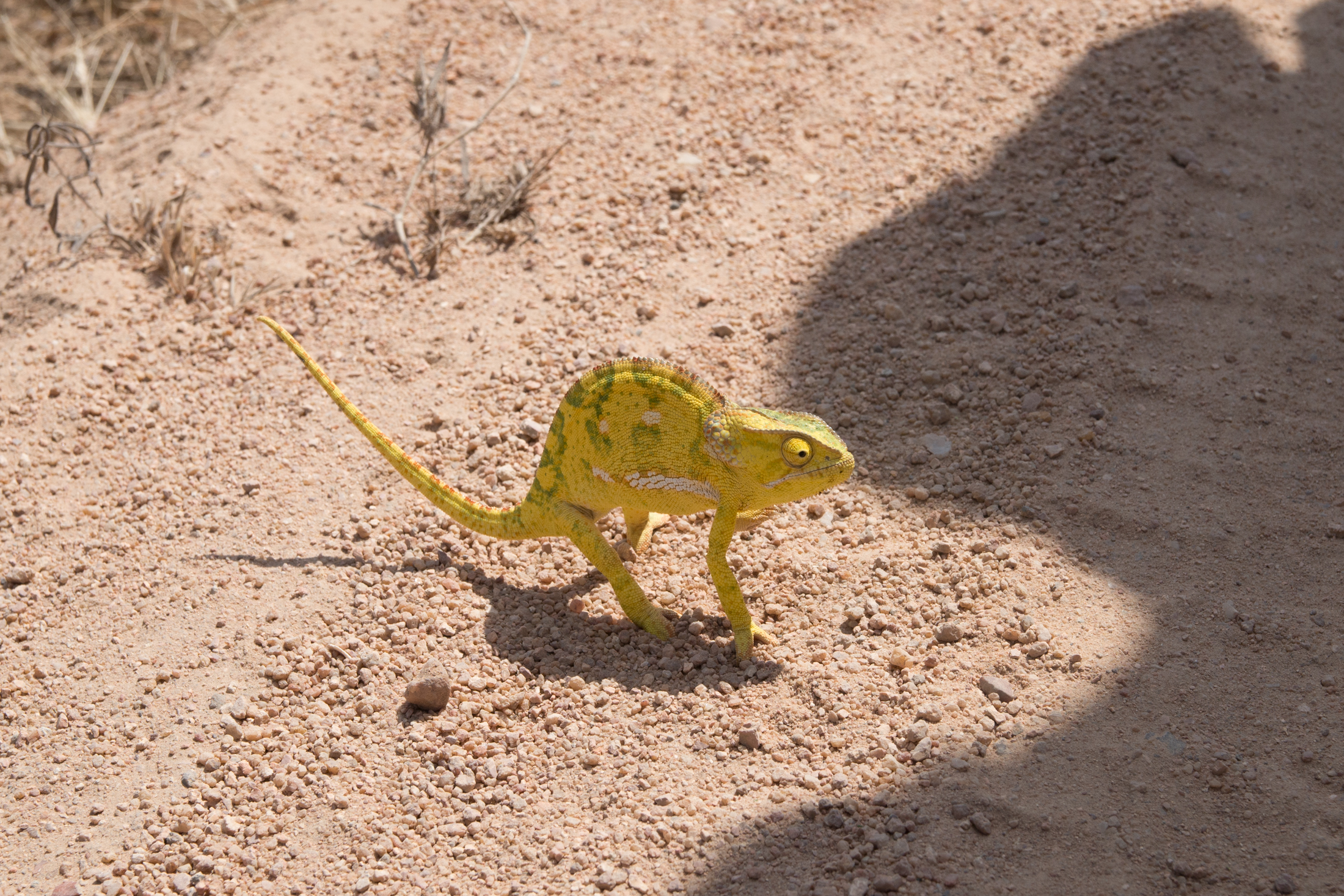 A chameleon avoids blending in order to look poisonous to predators. (Amar Batra/Daily Campus)