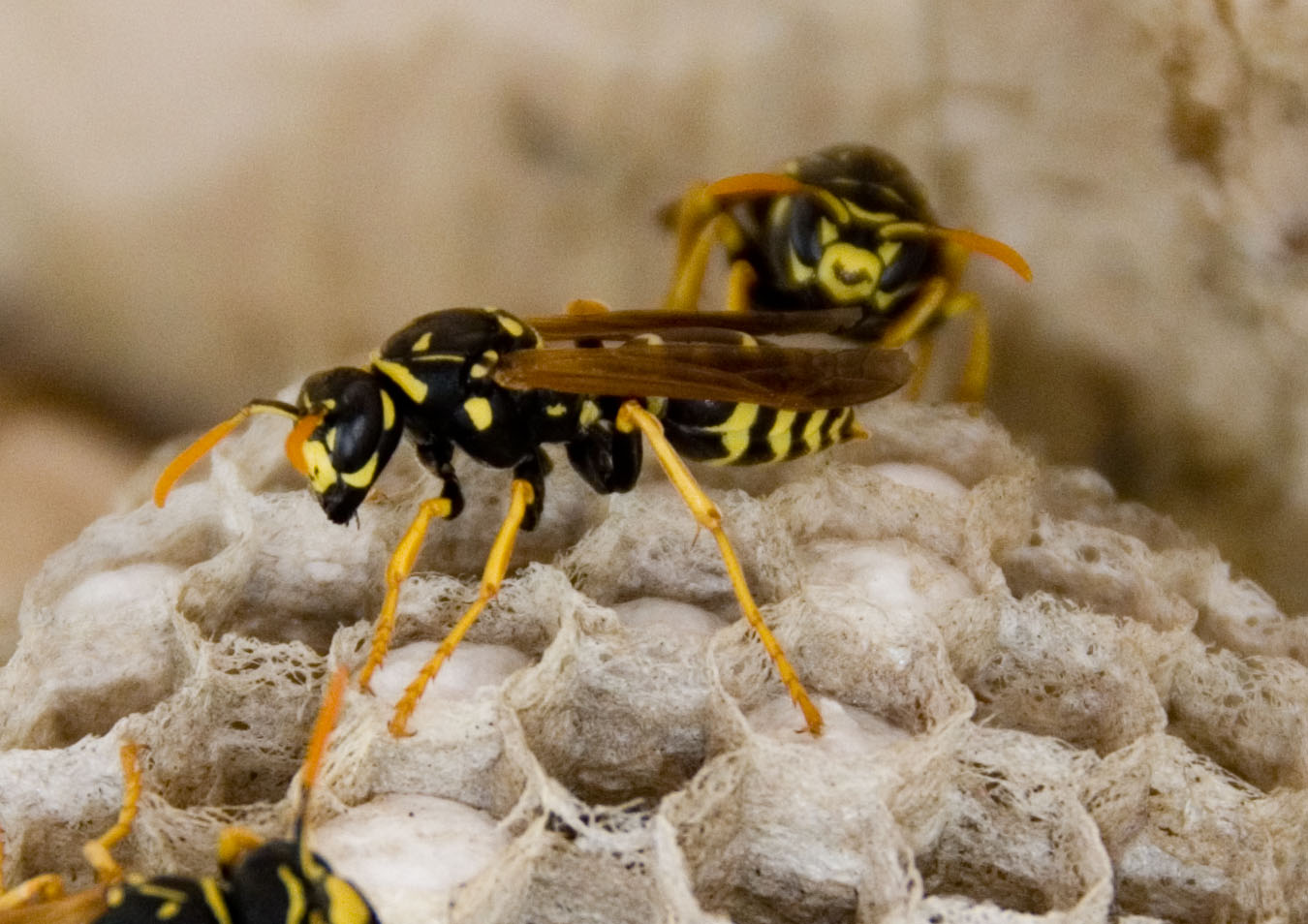 While Wasps may be a nuisance to a summertime picnic, they do have their uses.  (Kelly Klaas, Creative Commons)