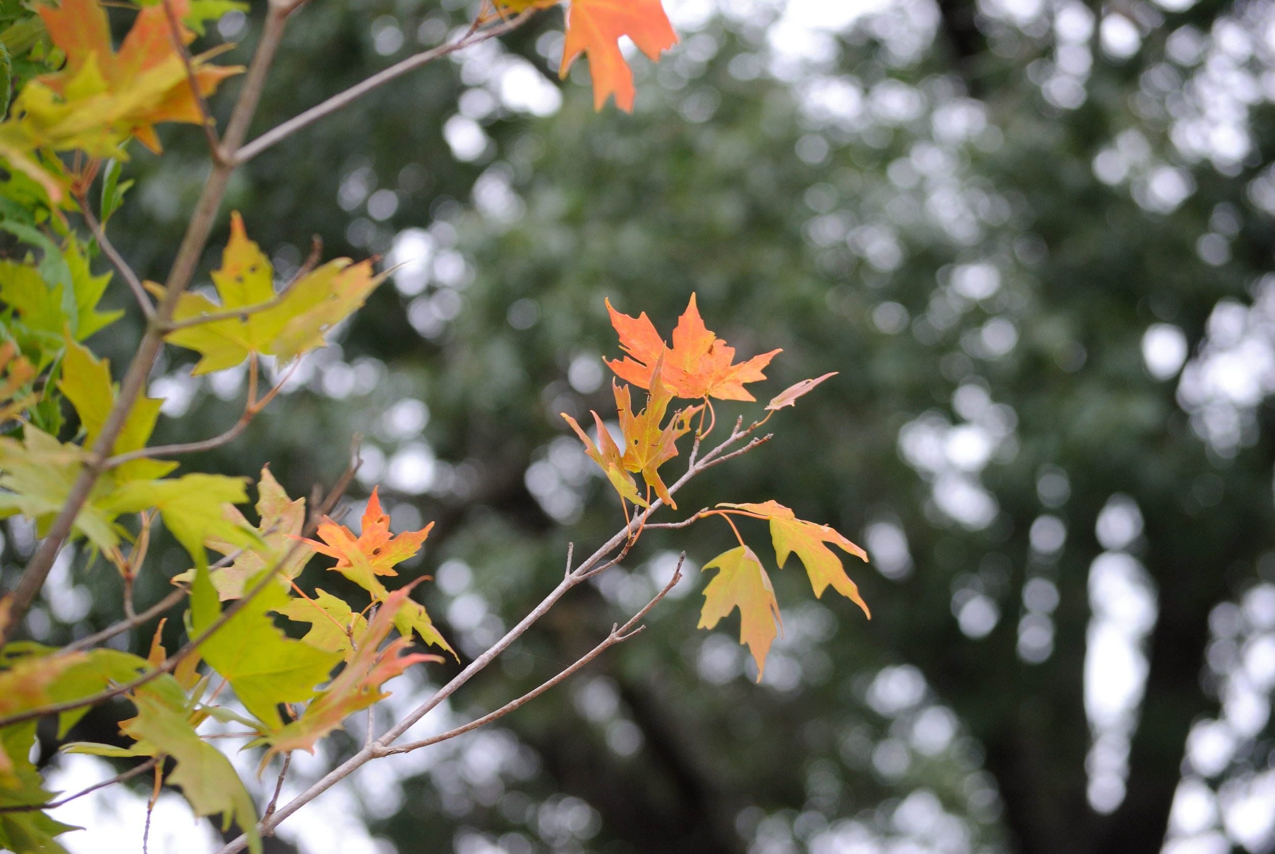 Leaves changing colors on campus due to the season change. (Kush Kumar, Grab Photographer/The Daily Campus)