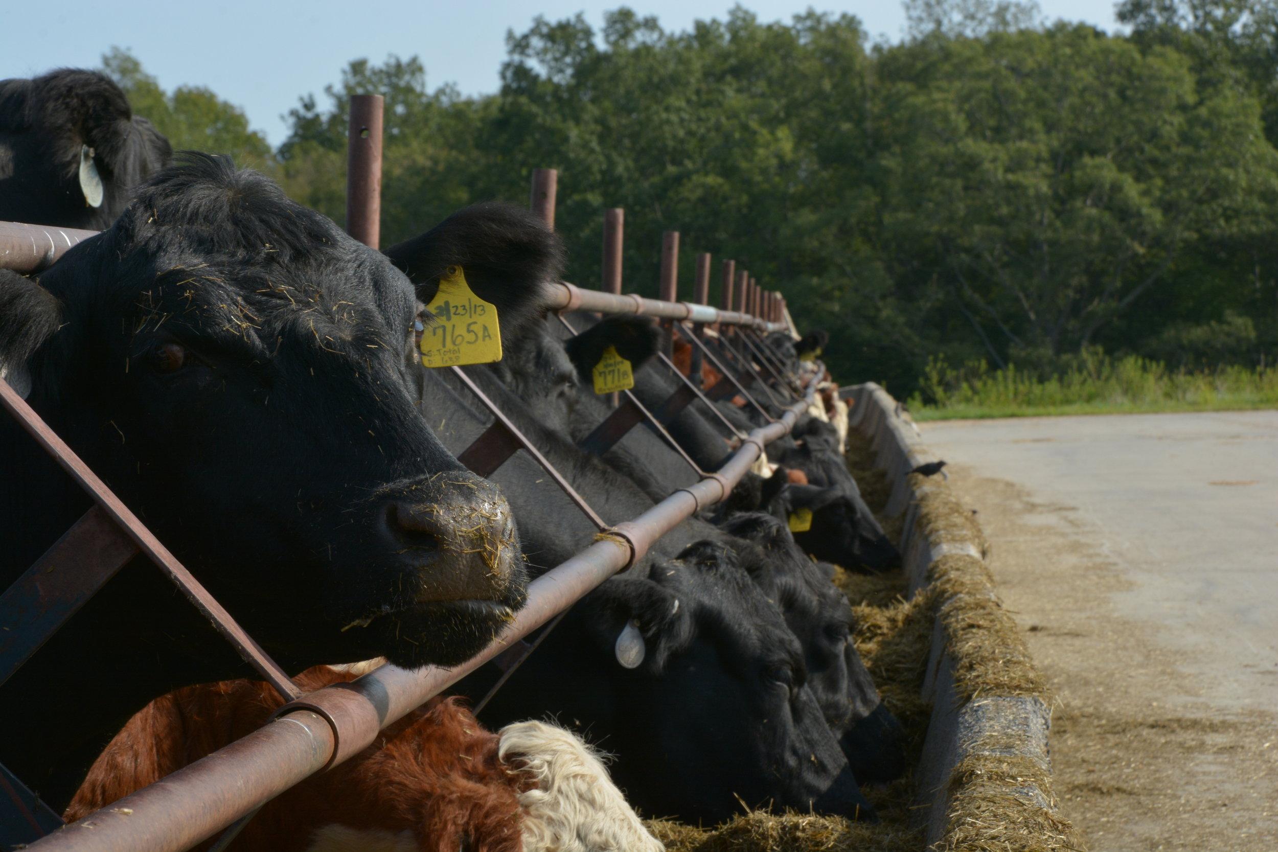 Cows hang out on Horsebarn Hill (Nicholas Hampton, Associate Photo Editor/The Daily Campus)
