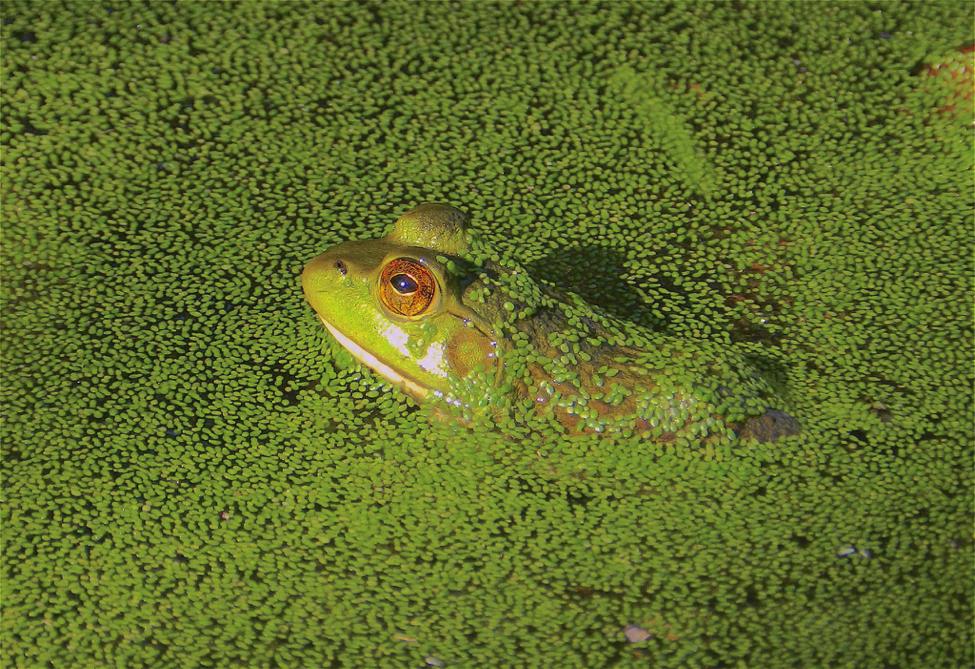 Young bullfrog in duckweed - Photo by Kurt Schwenk