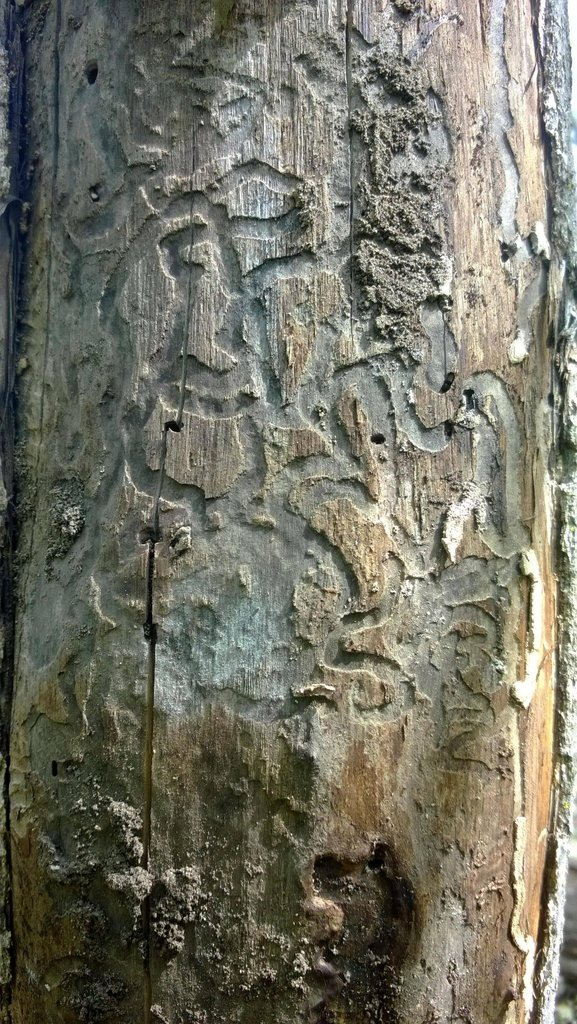 Damage from the emerald ash borer