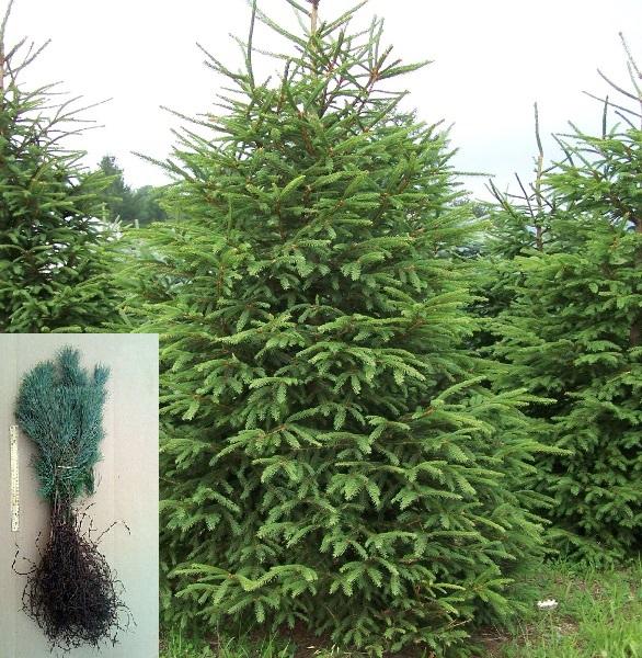 Conifers w transplant bundle.jpg