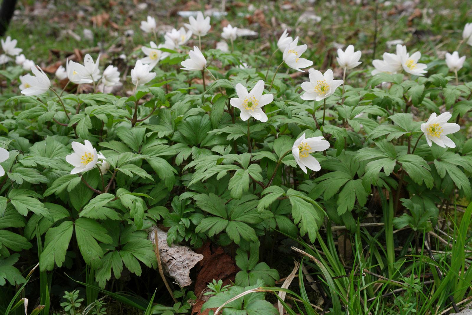 wood anemone3.jpg