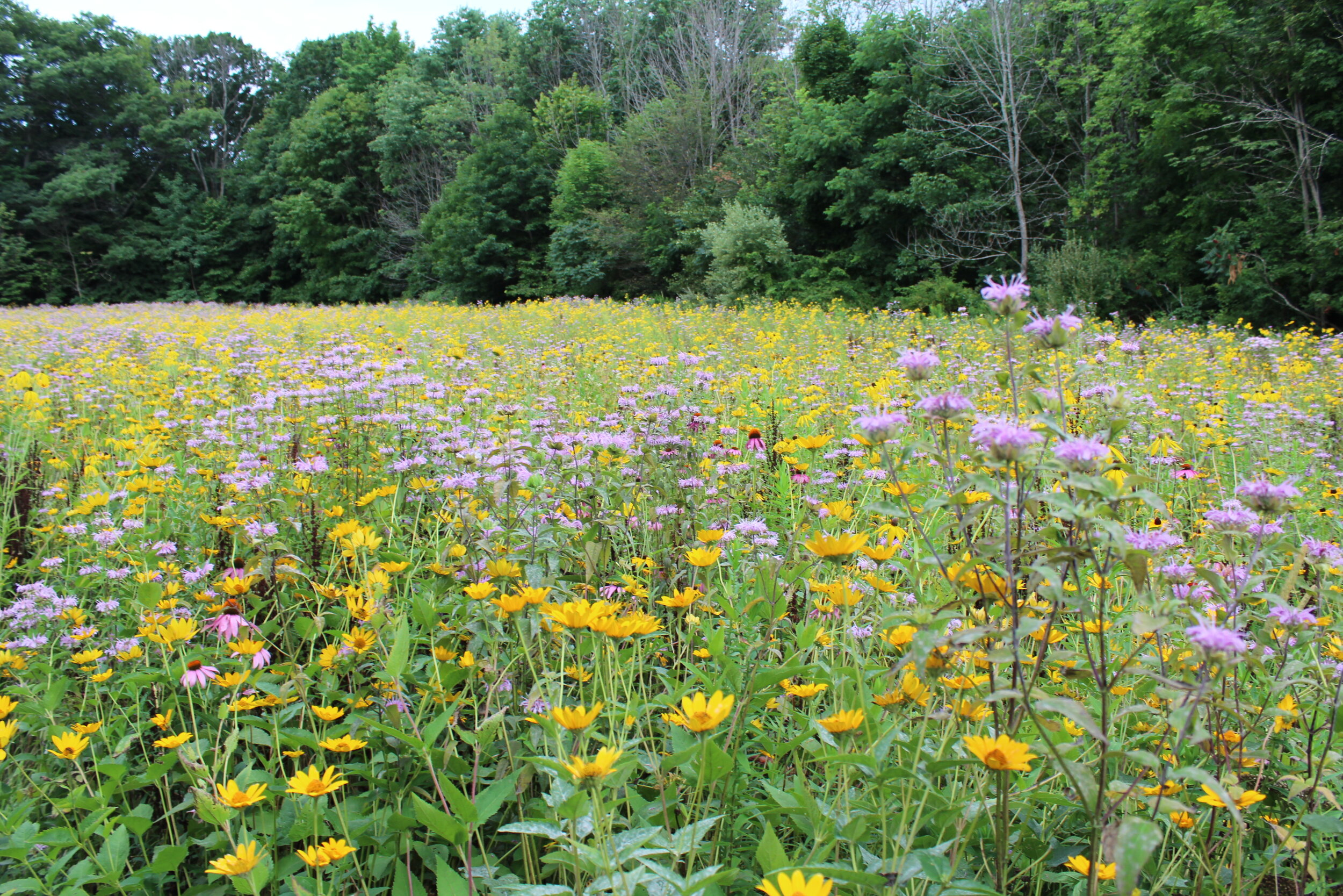 Year 3 Establishment - This planting provides critical habitat for monarchs and other pollinators.