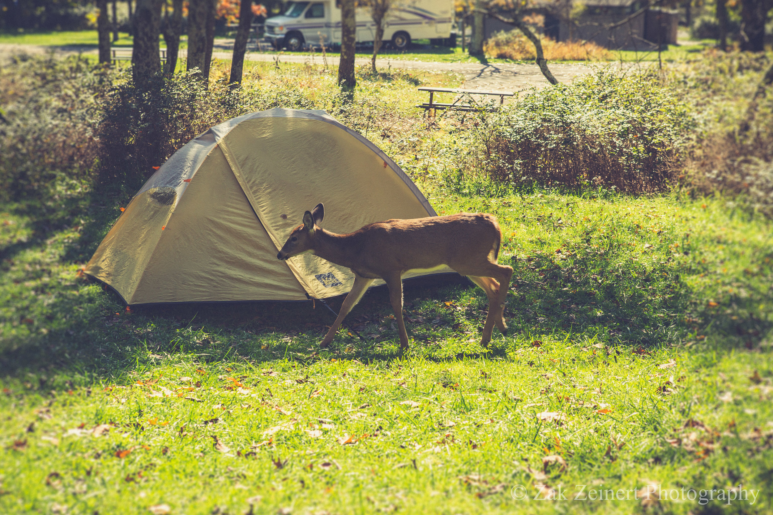 At my campground in Big Meadows, dear would frequently stroll through my campsite. Later that evening, a whole herd came galloping through while I ate dinner!
