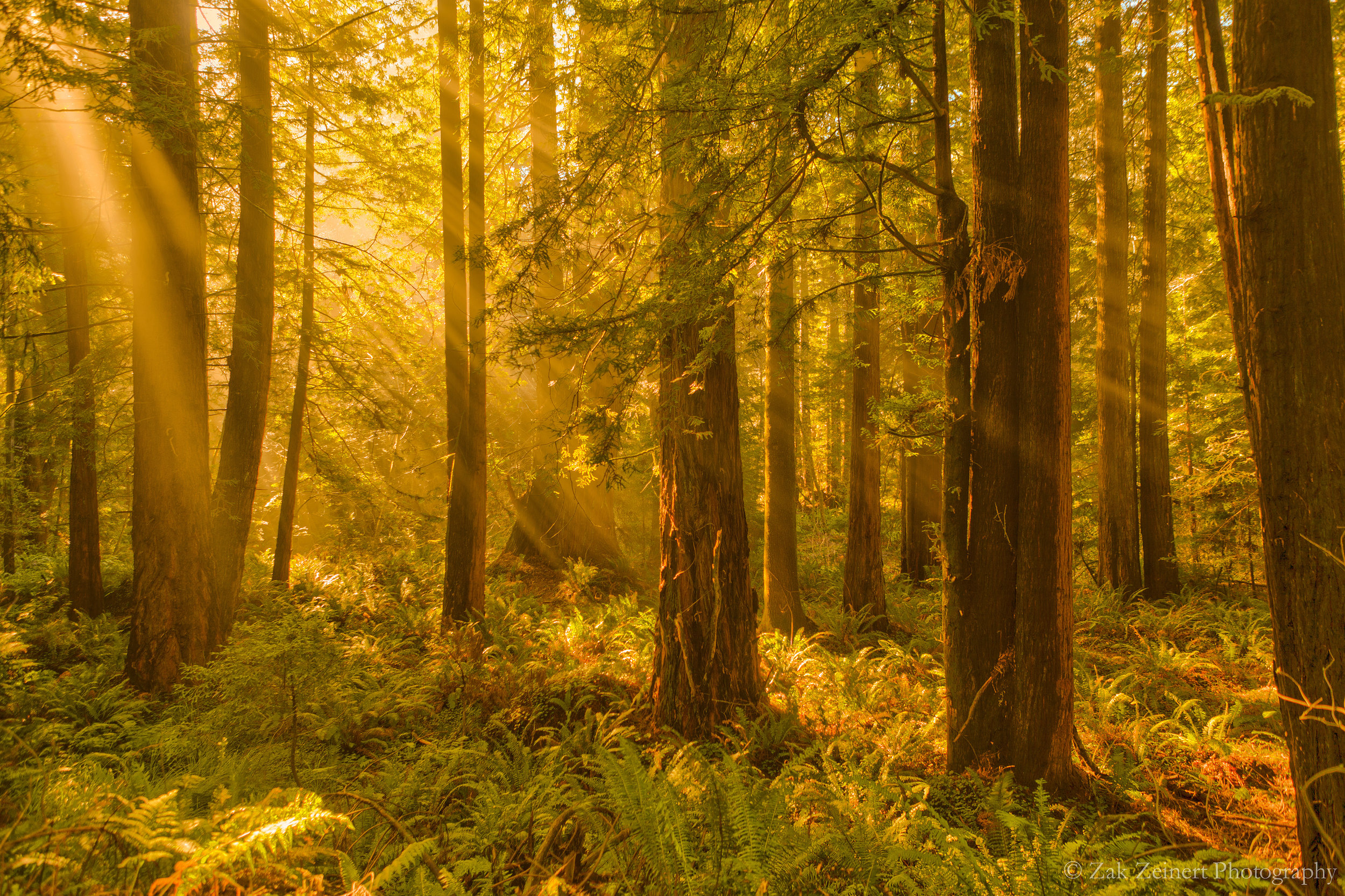 Redwoods near Jedediah Smith Redwood State Park circa 2015.  Had to copy this from my website as the original was lost in the hard drive crash. Taken on the Howland Hill Road.