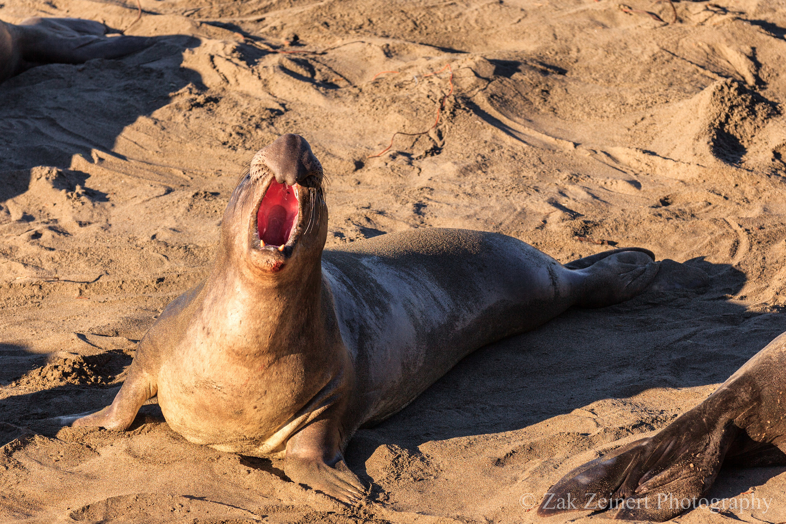 Male elephant seal showing everyone who's boss