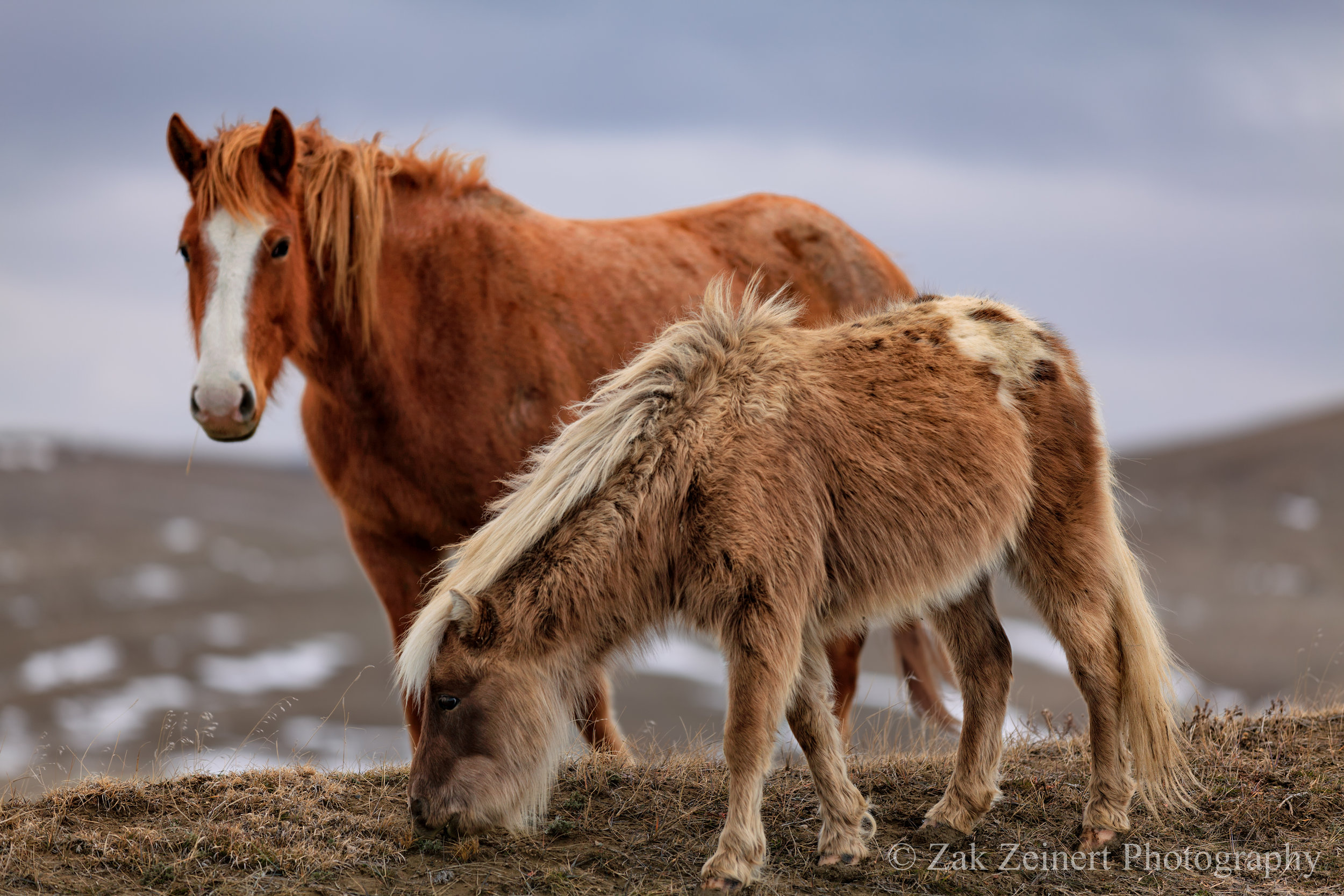 Wild Horses near Little Big horn