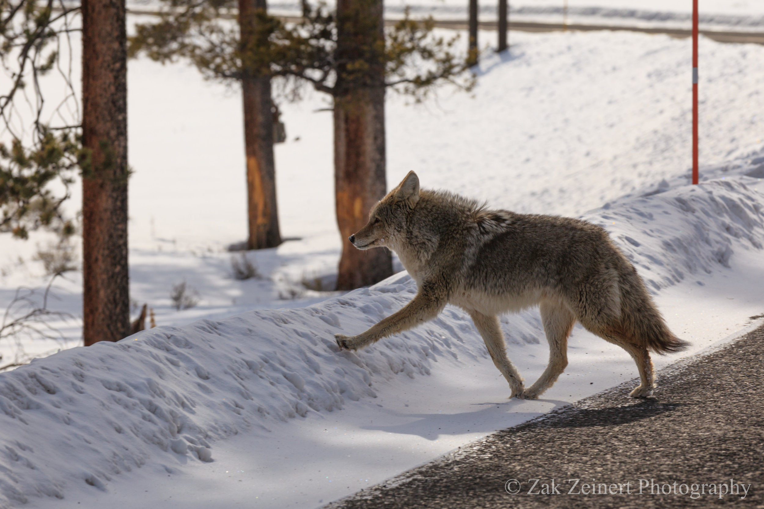 Coyote or wolf?
