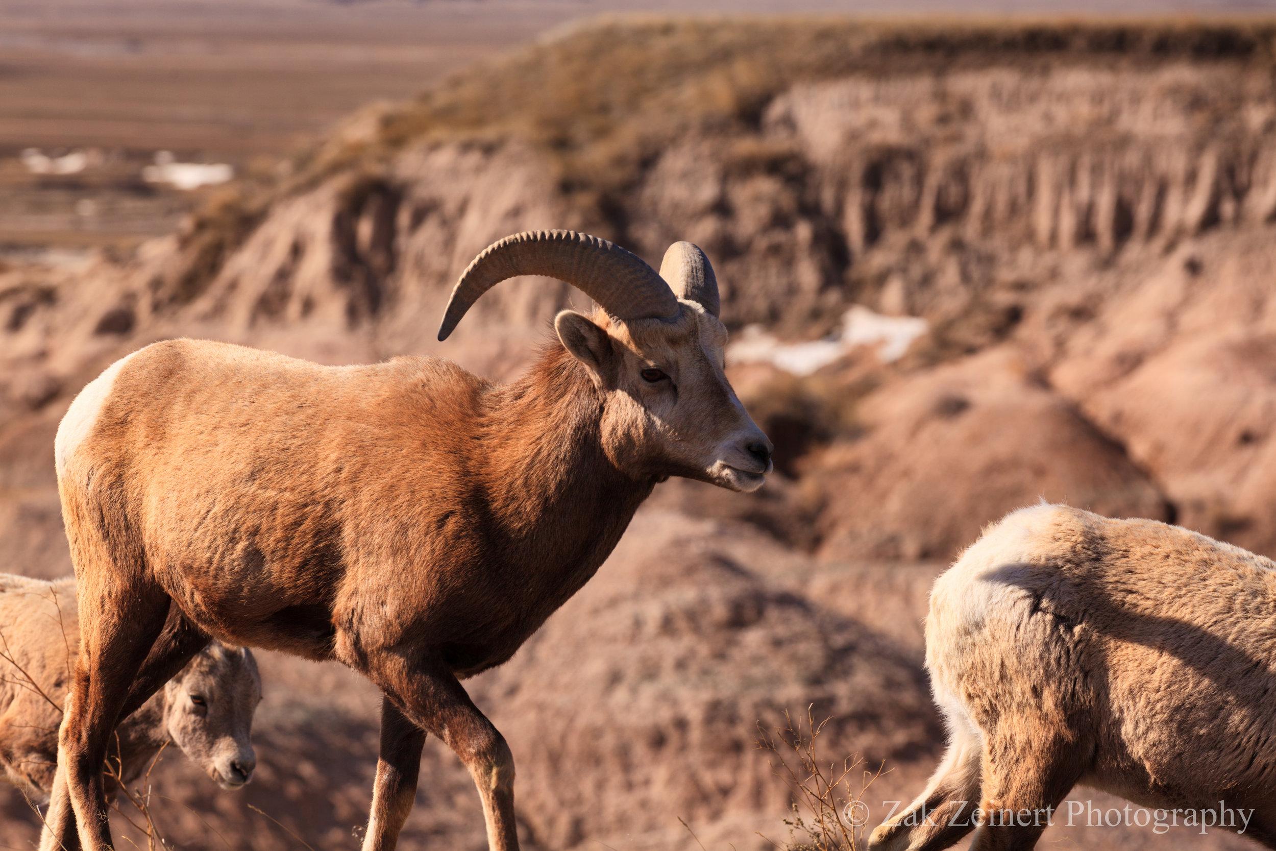 Mountain Goat in Badlands National Park