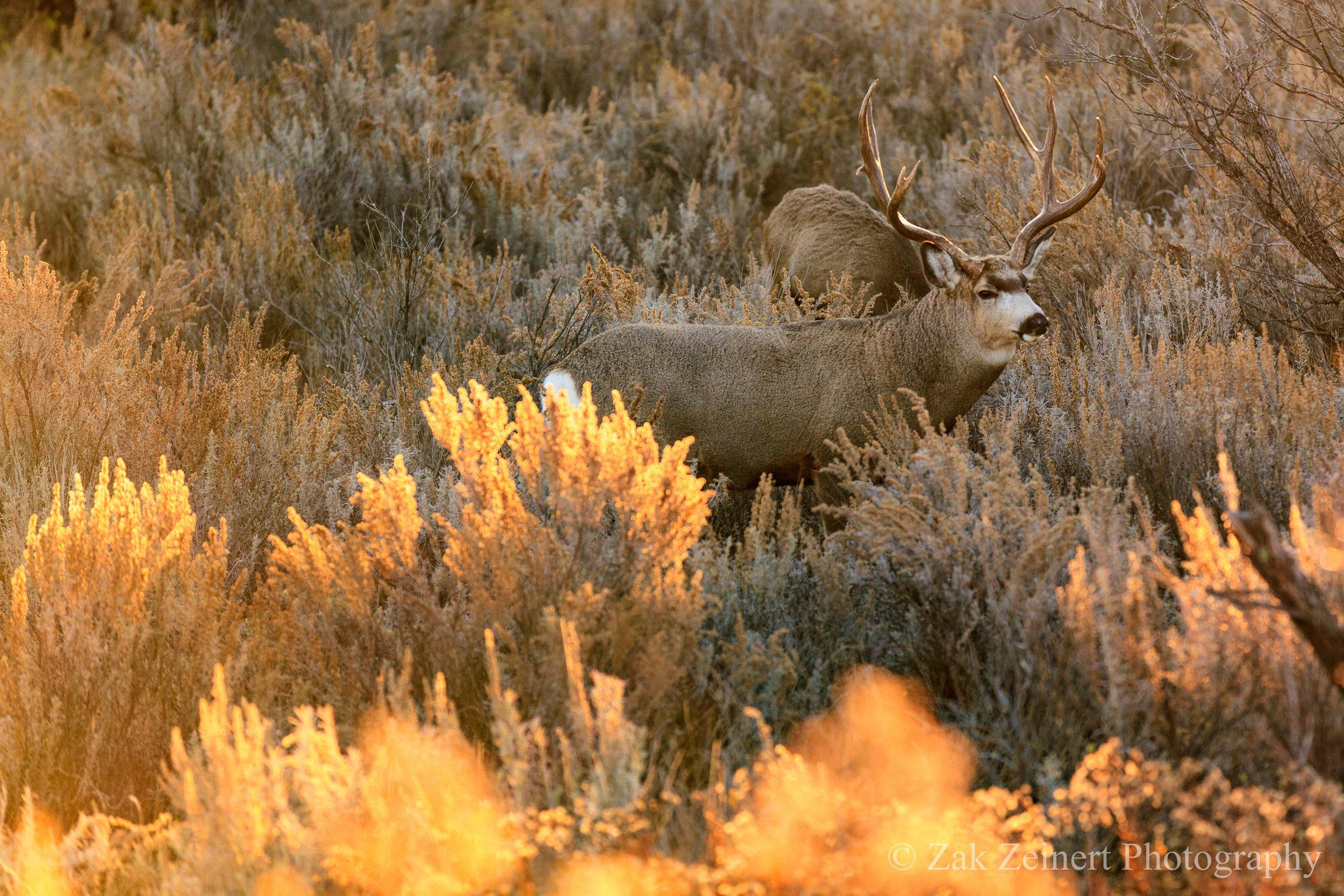 An elk seen from the parking lot at Buck Hill