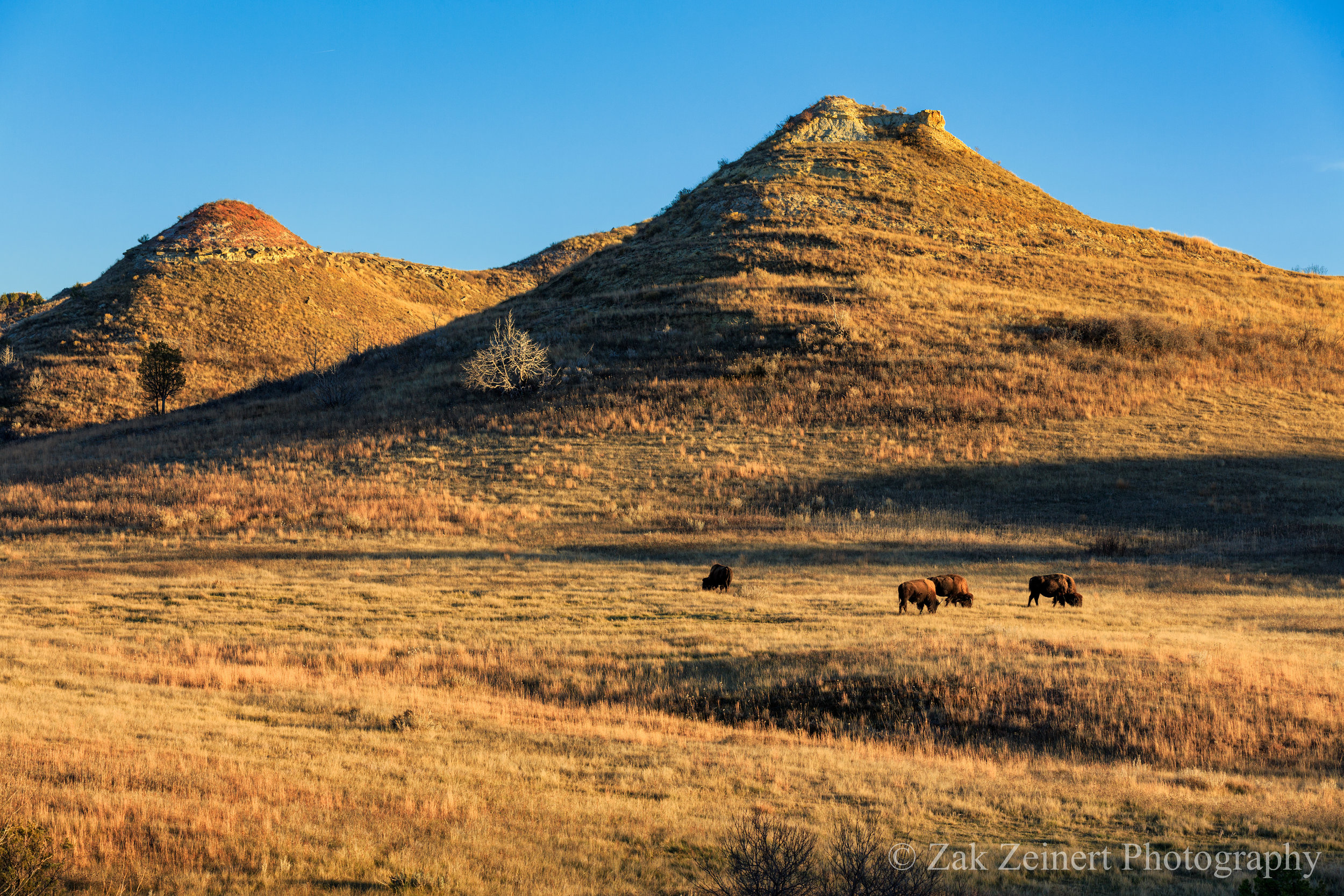 Bison graze during golden hour in the fall somewhere along the 36-mile loop - 2016