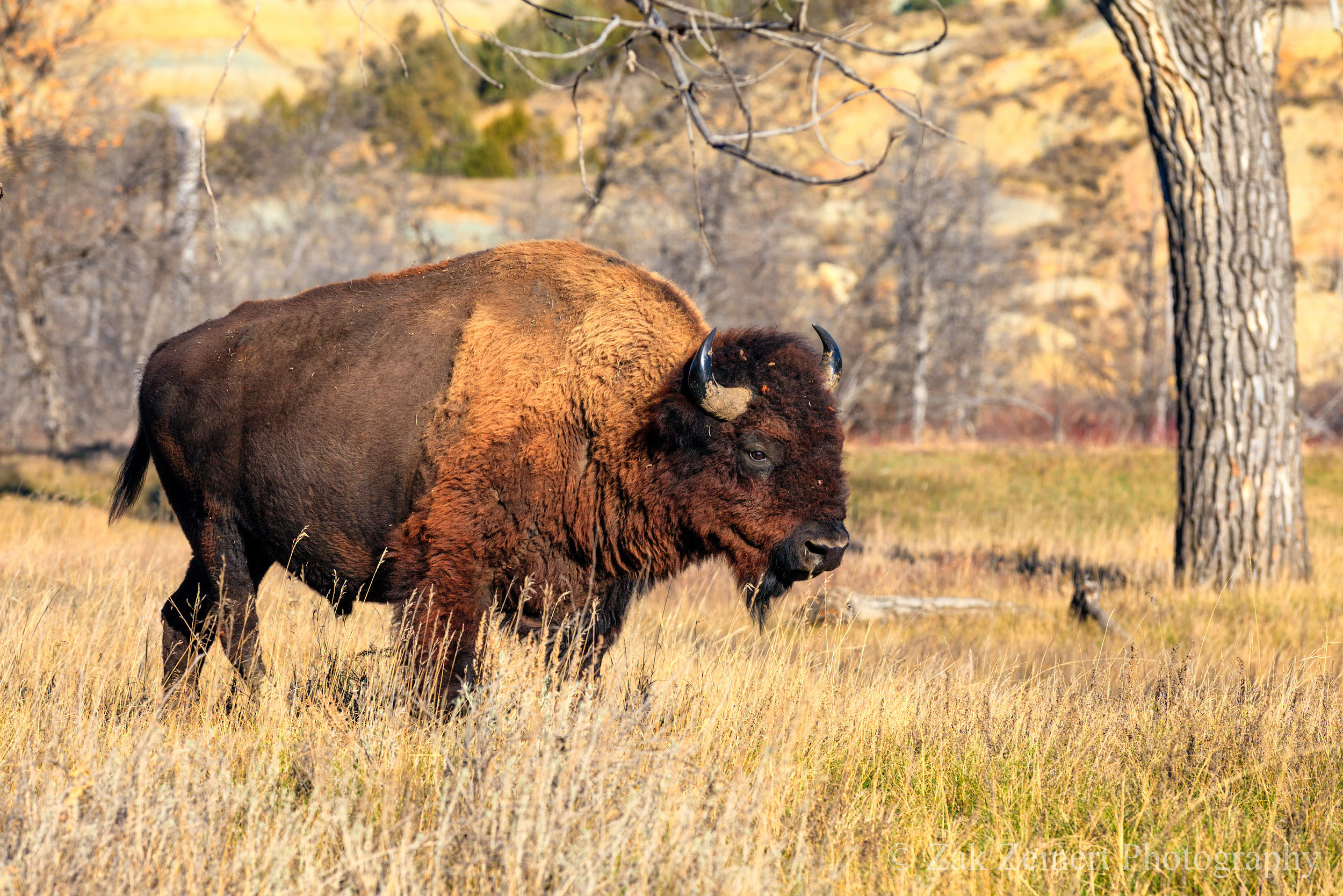 A buffalo wanders through my camp at Juniper Campground