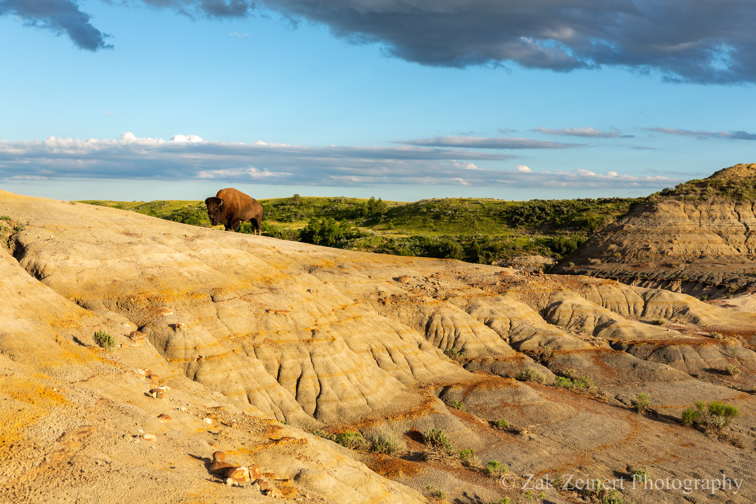 A Bison blocks the way on the Petrified Forest Loop